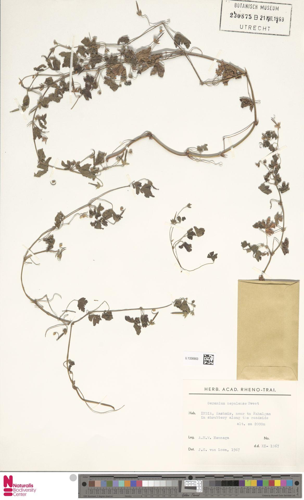 U.1336903 | Geranium nepalense Sweet