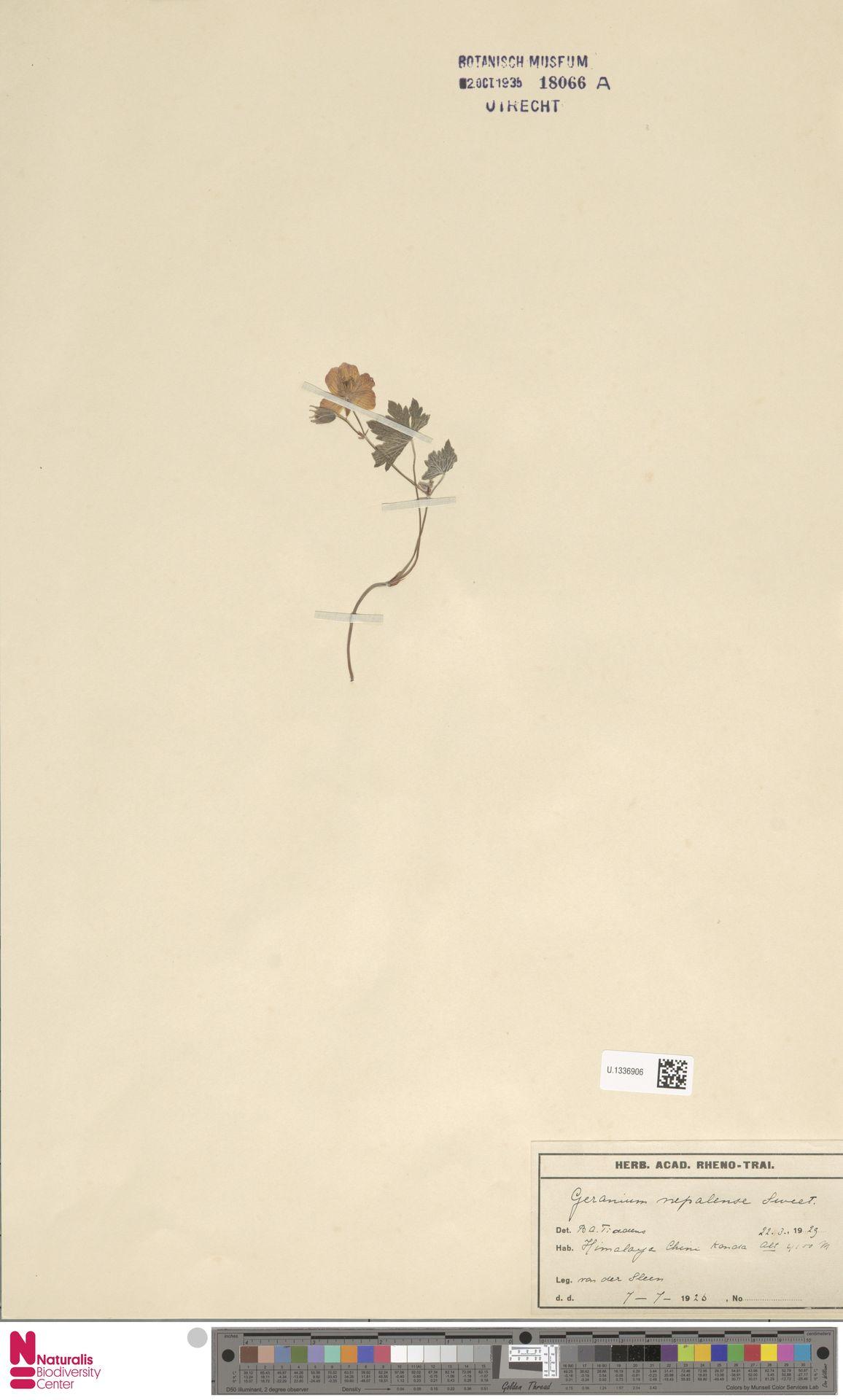 U.1336906 | Geranium nepalense Sweet