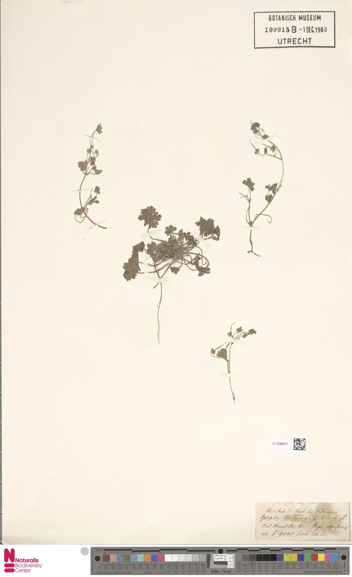 U.1336912   Geranium rotundifolium L.