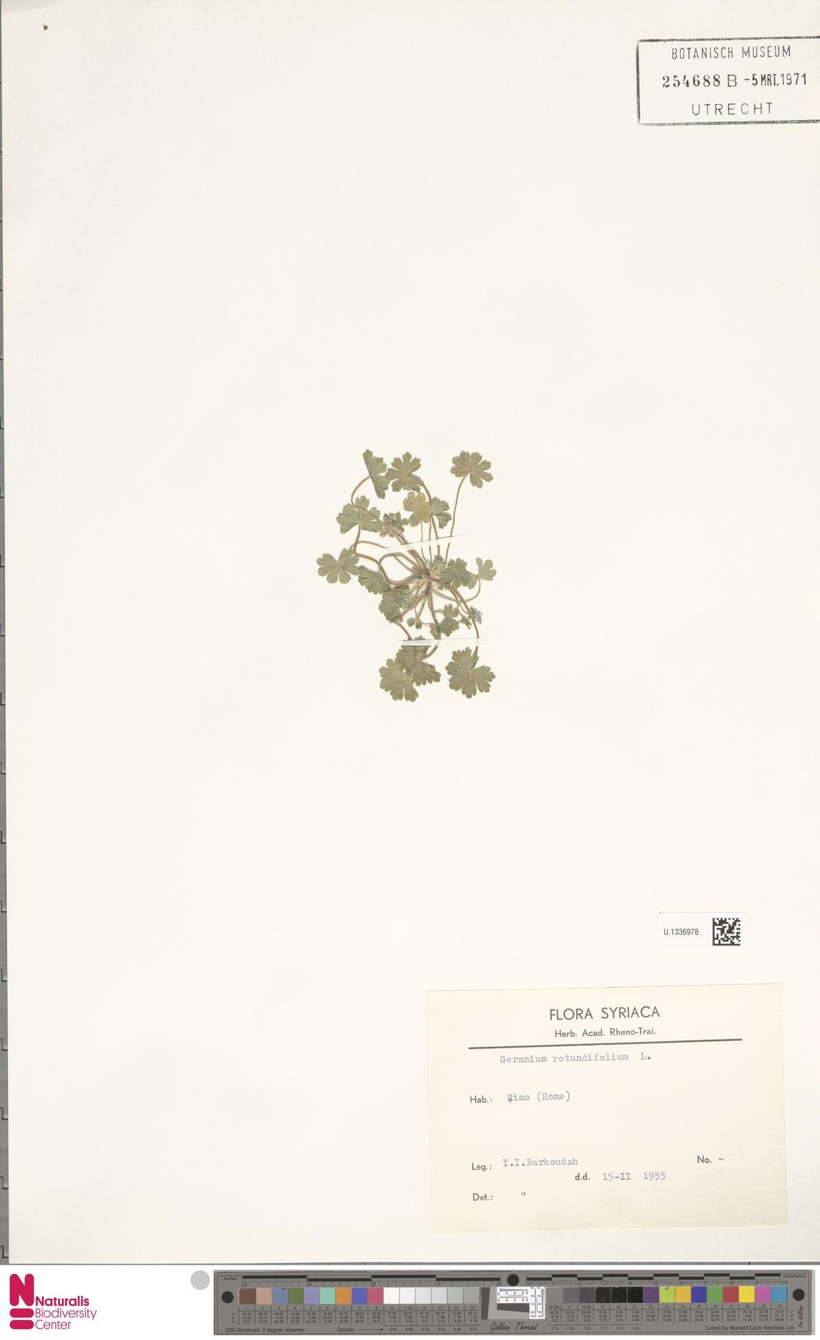 U.1336978 | Geranium rotundifolium L.