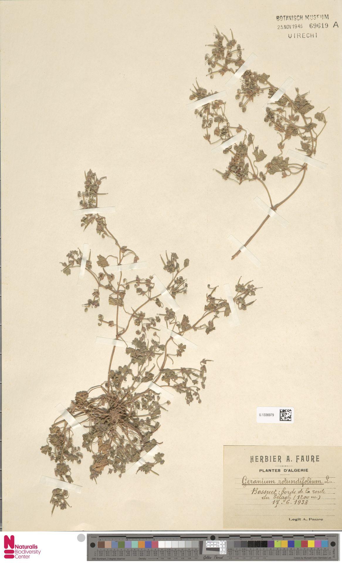 U.1336979 | Geranium rotundifolium L.