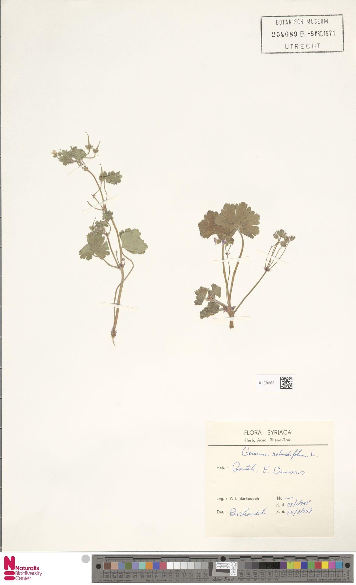 U.1336980 | Geranium rotundifolium L.
