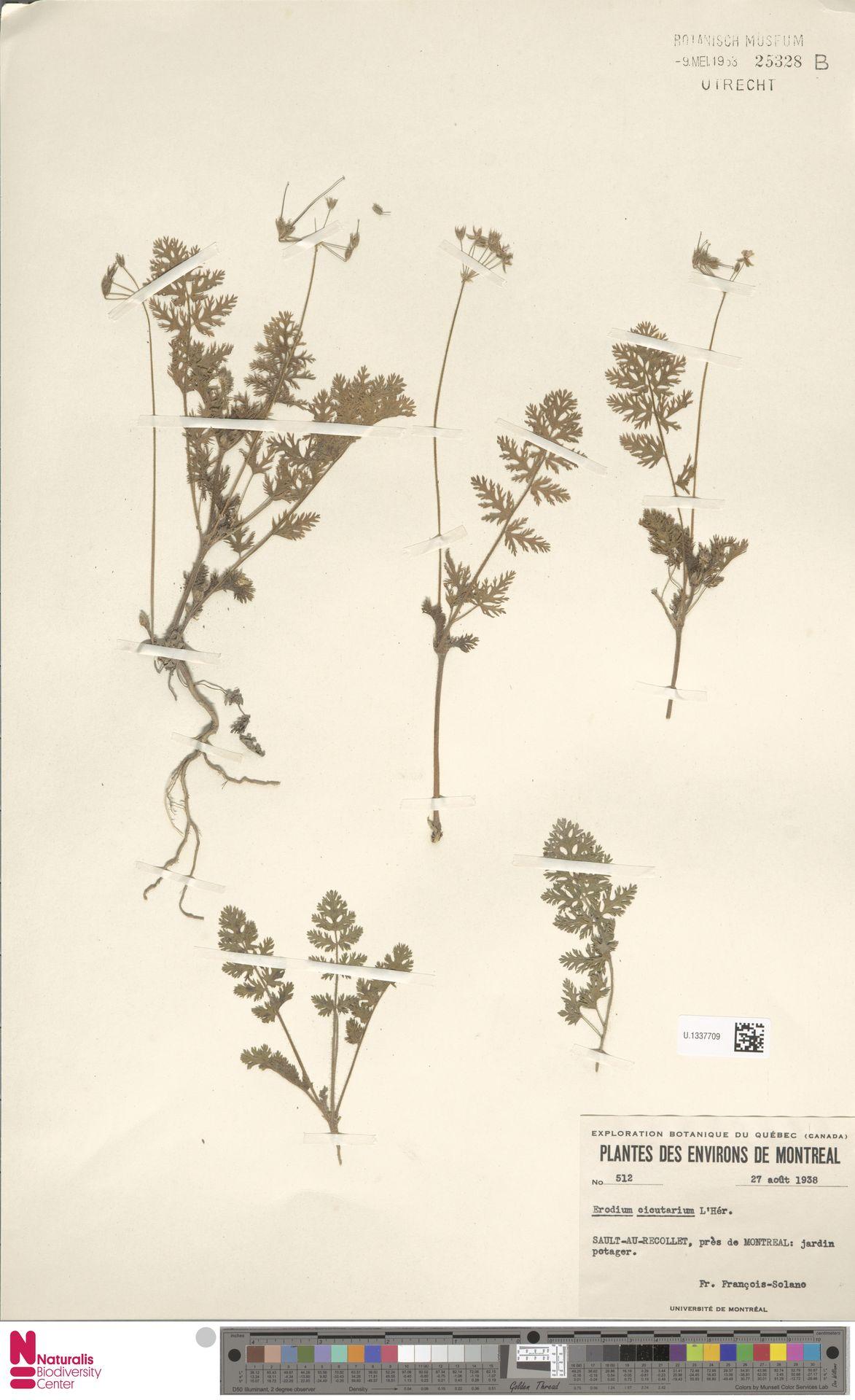 U.1337709 | Erodium cicutarium (L.) L'Hér.