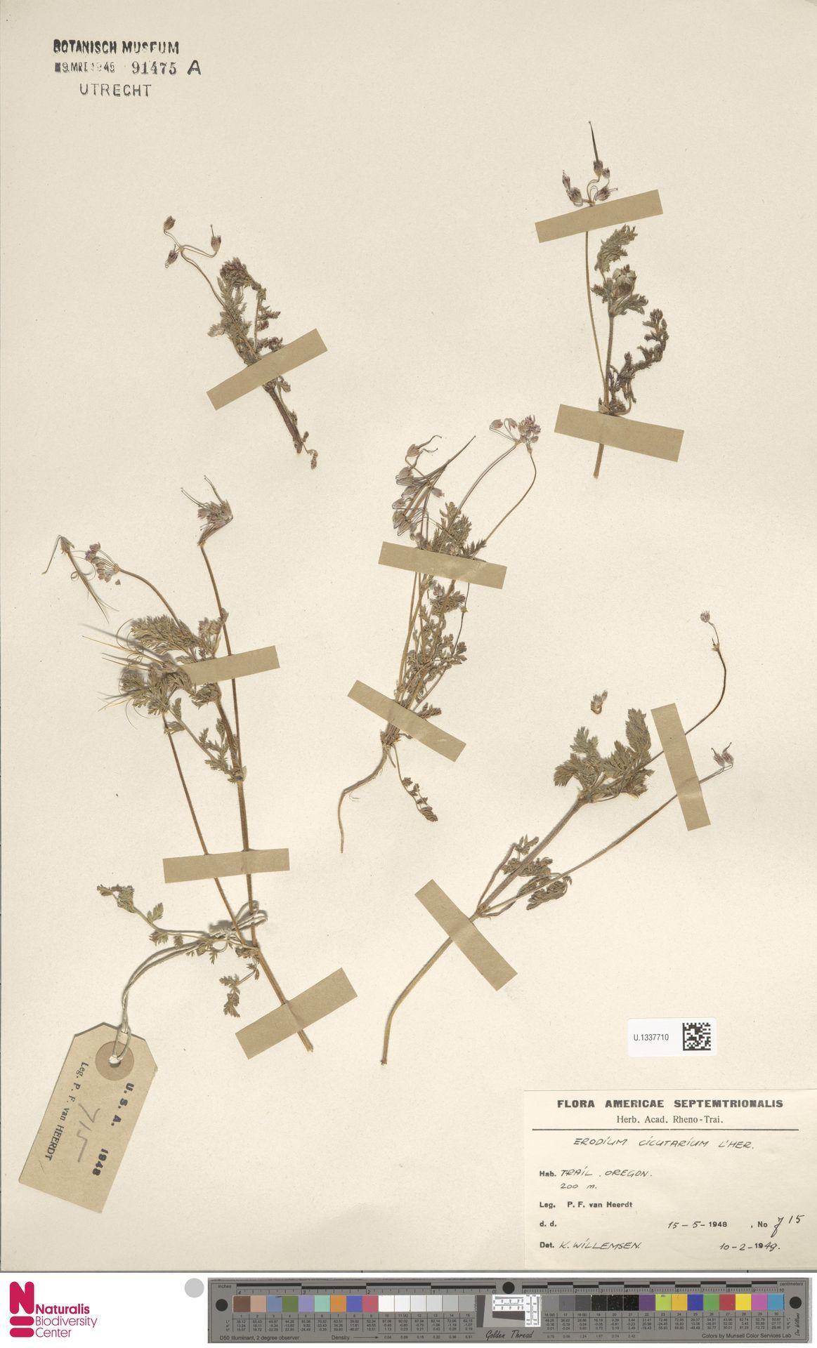 U.1337710 | Erodium cicutarium (L.) L'Hér.
