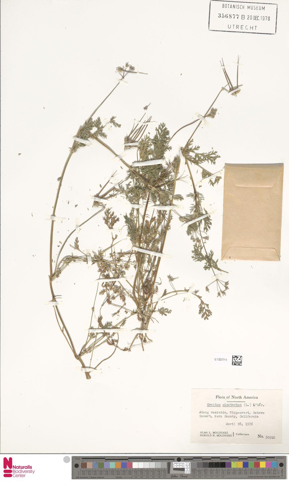 U.1337711 | Erodium cicutarium (L.) L'Hér.