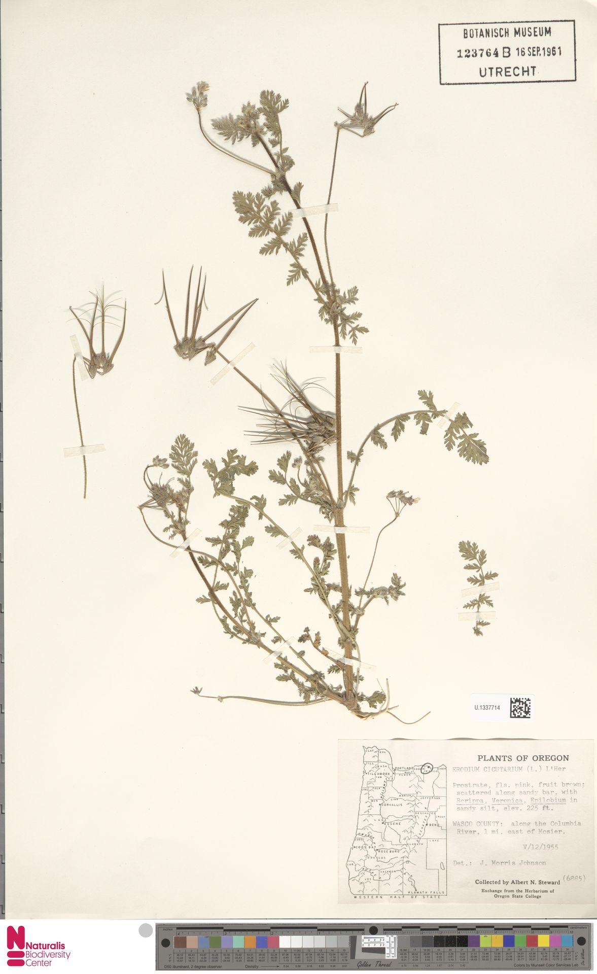 U.1337714 | Erodium cicutarium (L.) L'Hér.