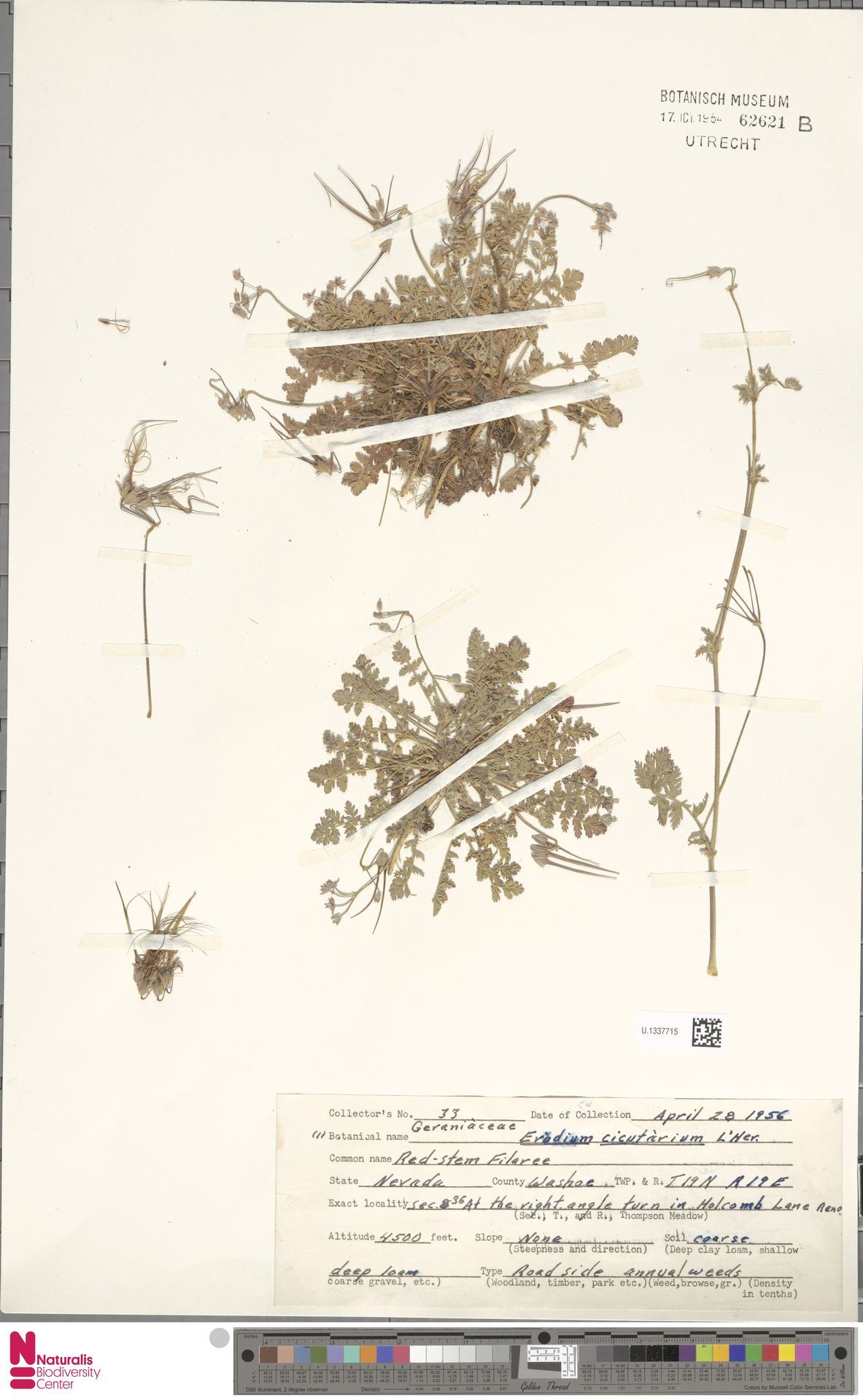 U.1337715 | Erodium cicutarium (L.) L'Hér.