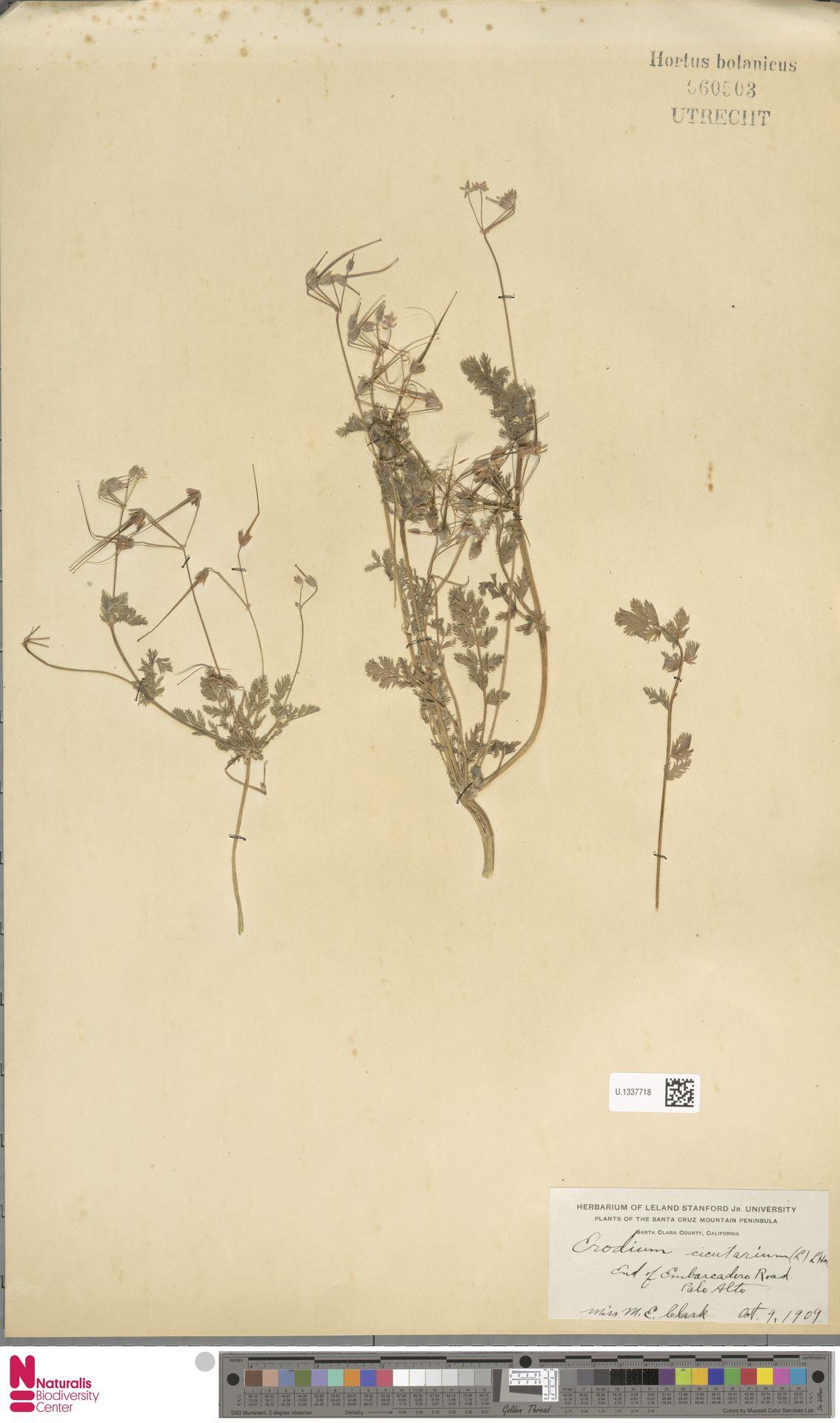 U.1337718 | Erodium cicutarium (L.) L'Hér.