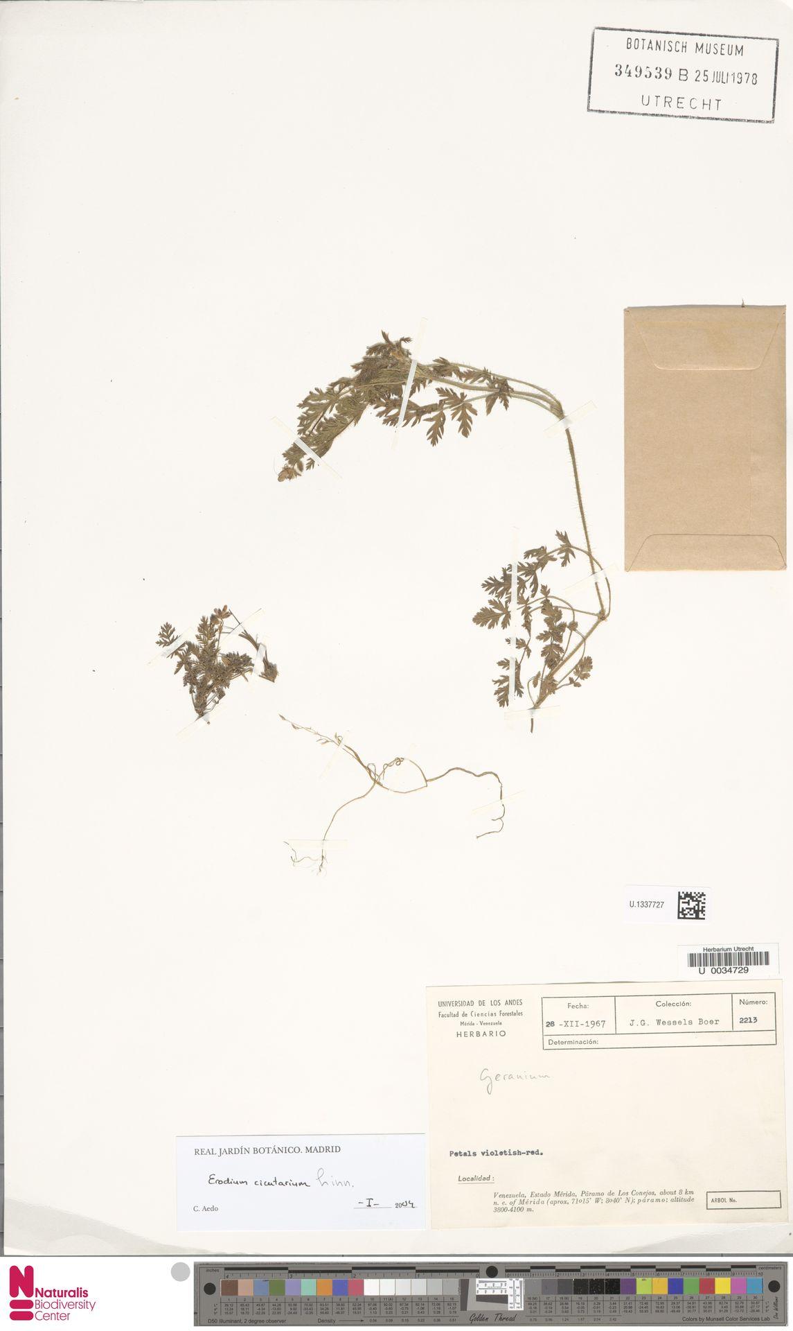 U.1337727 | Erodium cicutarium (L.) L'Hér.
