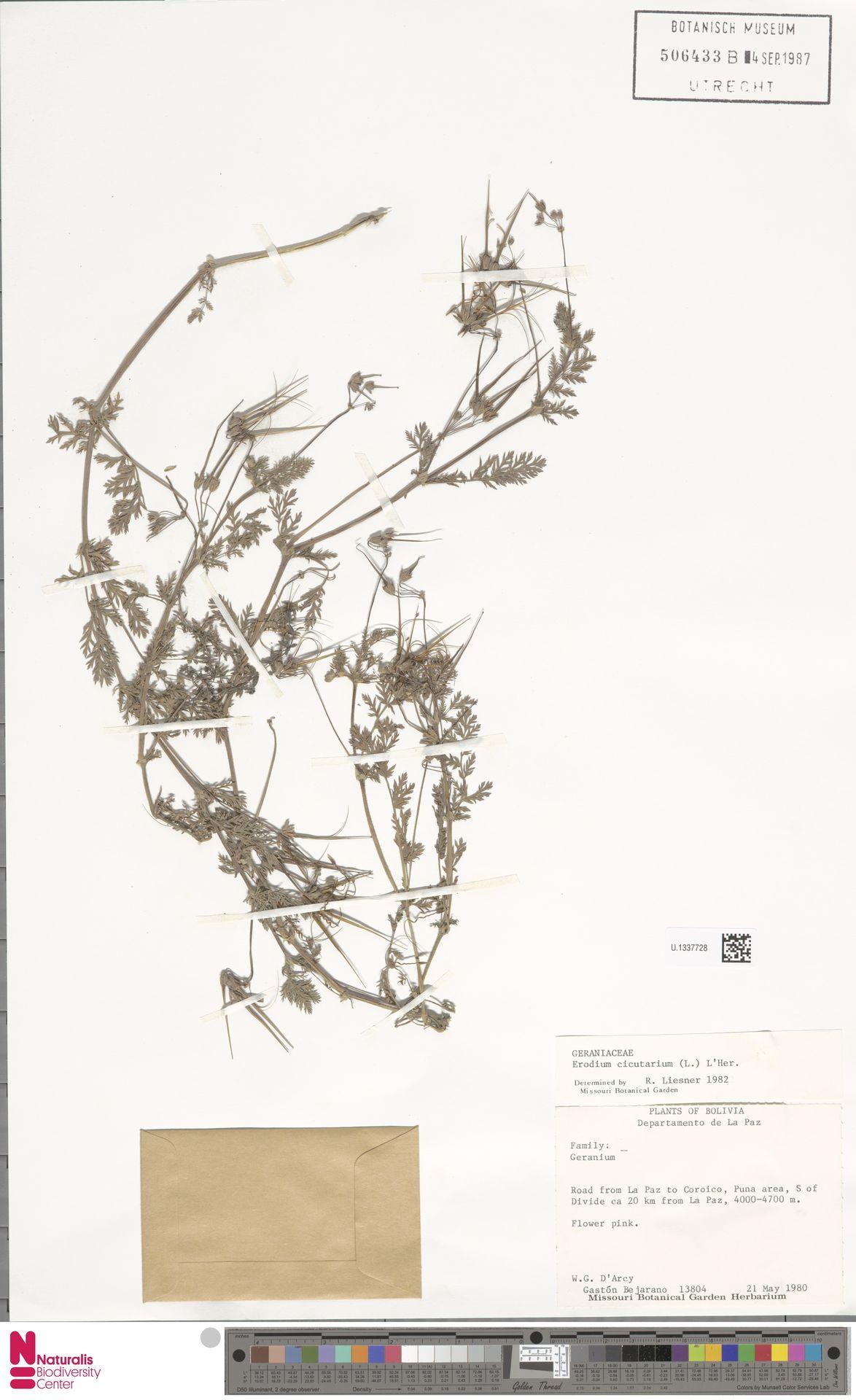 U.1337728 | Erodium cicutarium (L.) L'Hér.