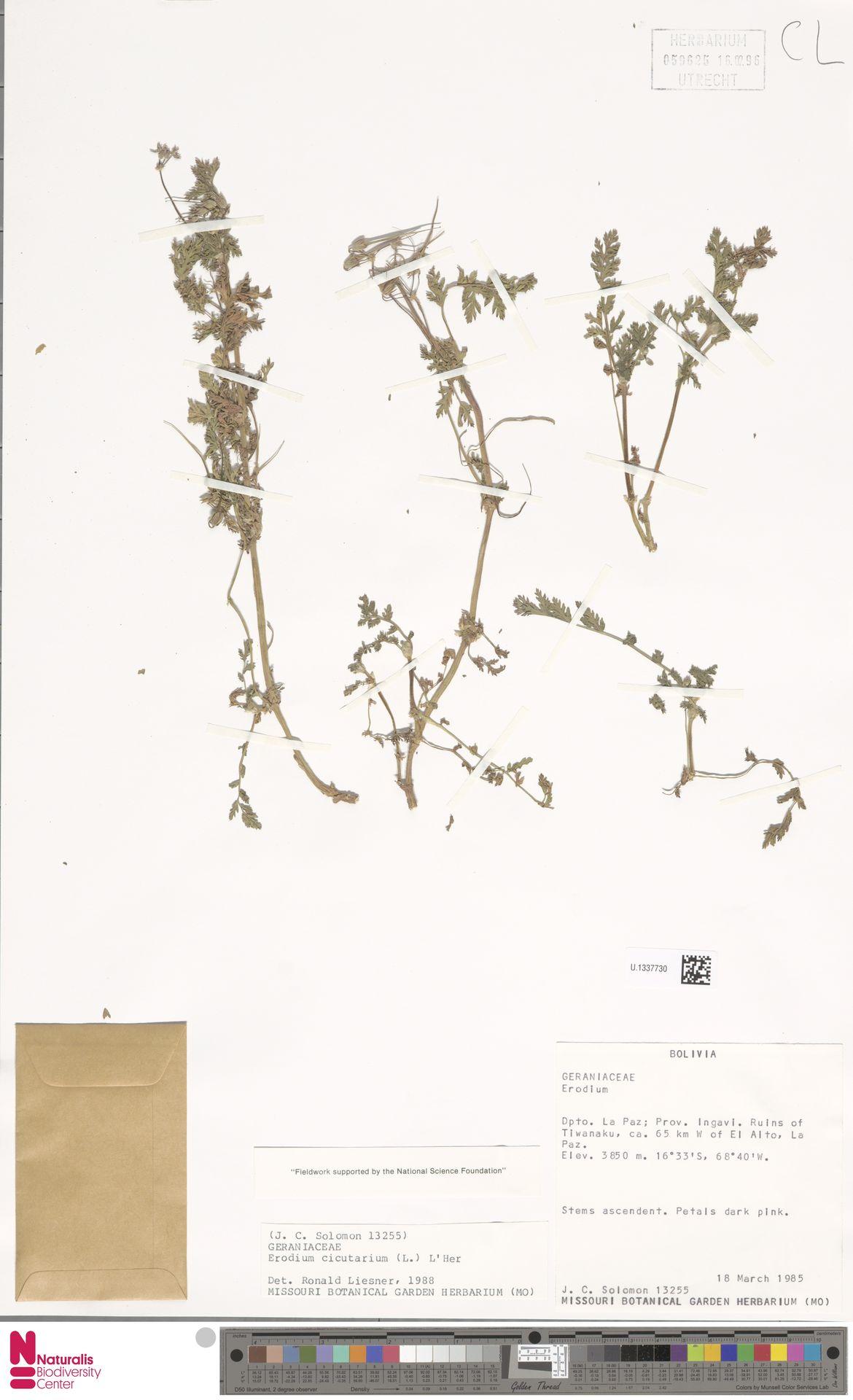 U.1337730   Erodium cicutarium (L.) L'Hér.