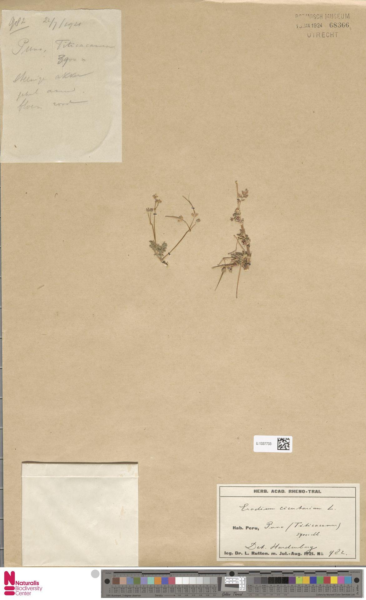 U.1337733 | Erodium cicutarium (L.) L'Hér.