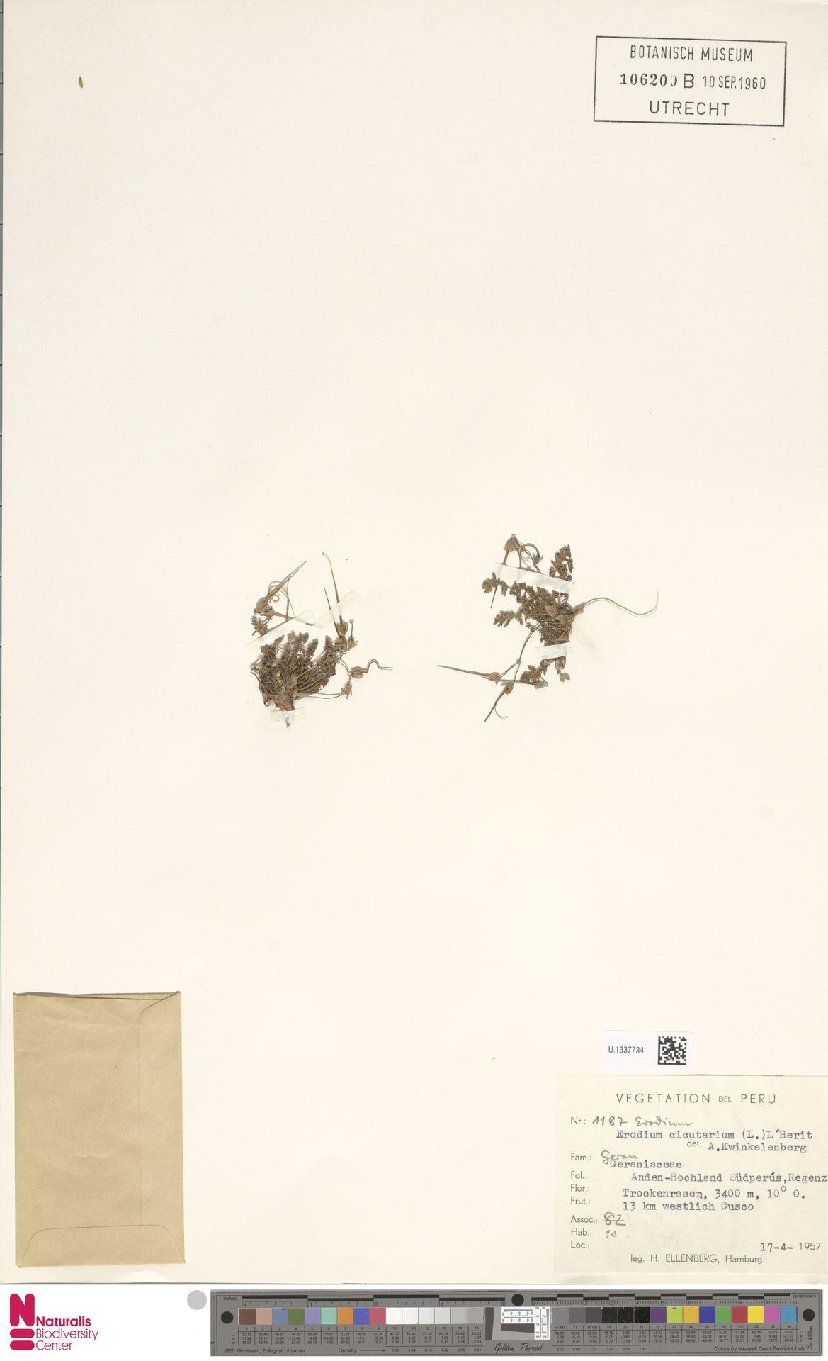 U.1337734 | Erodium cicutarium (L.) L'Hér.