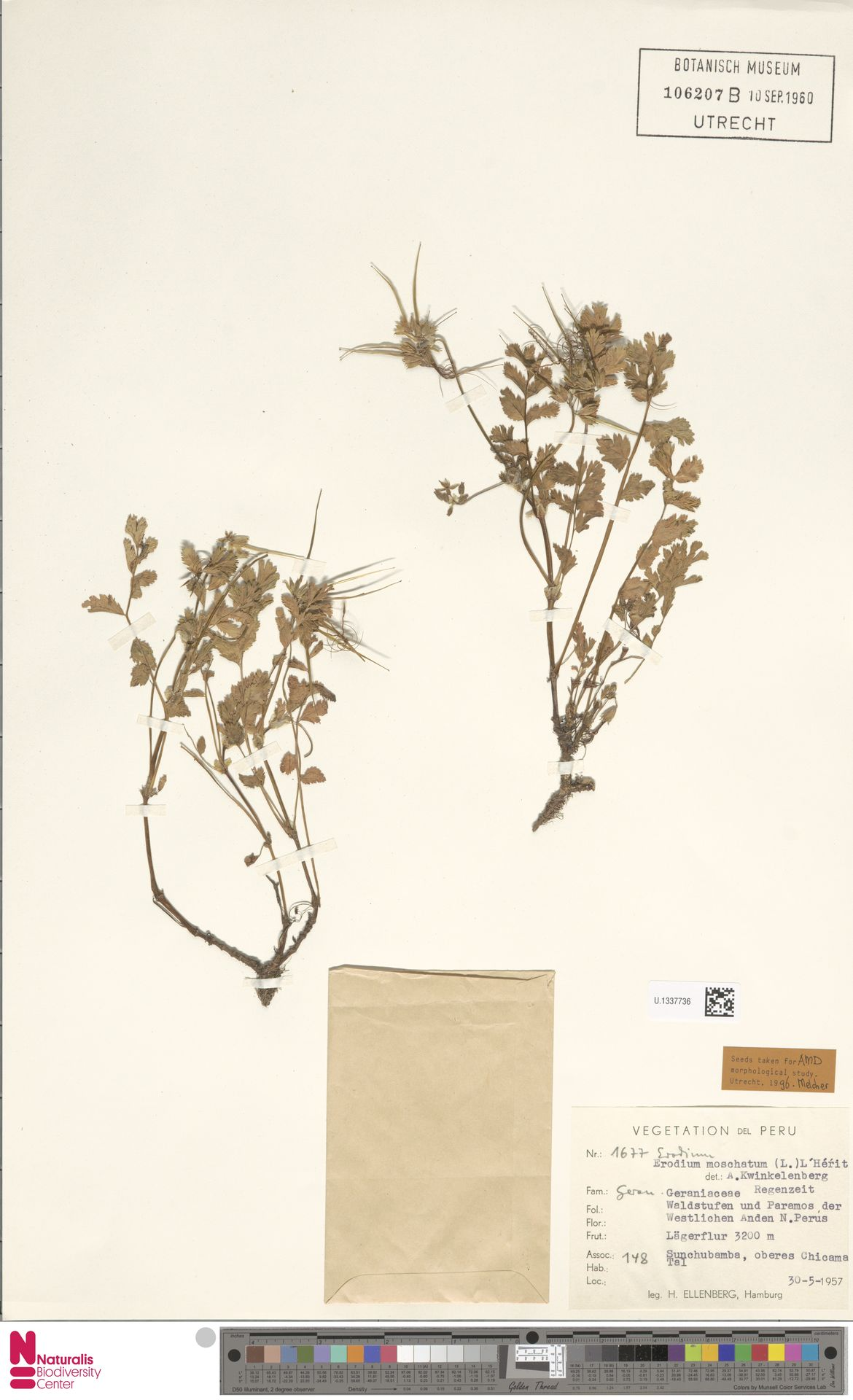 U.1337736 | Erodium moschatum (L.) L'Hér.
