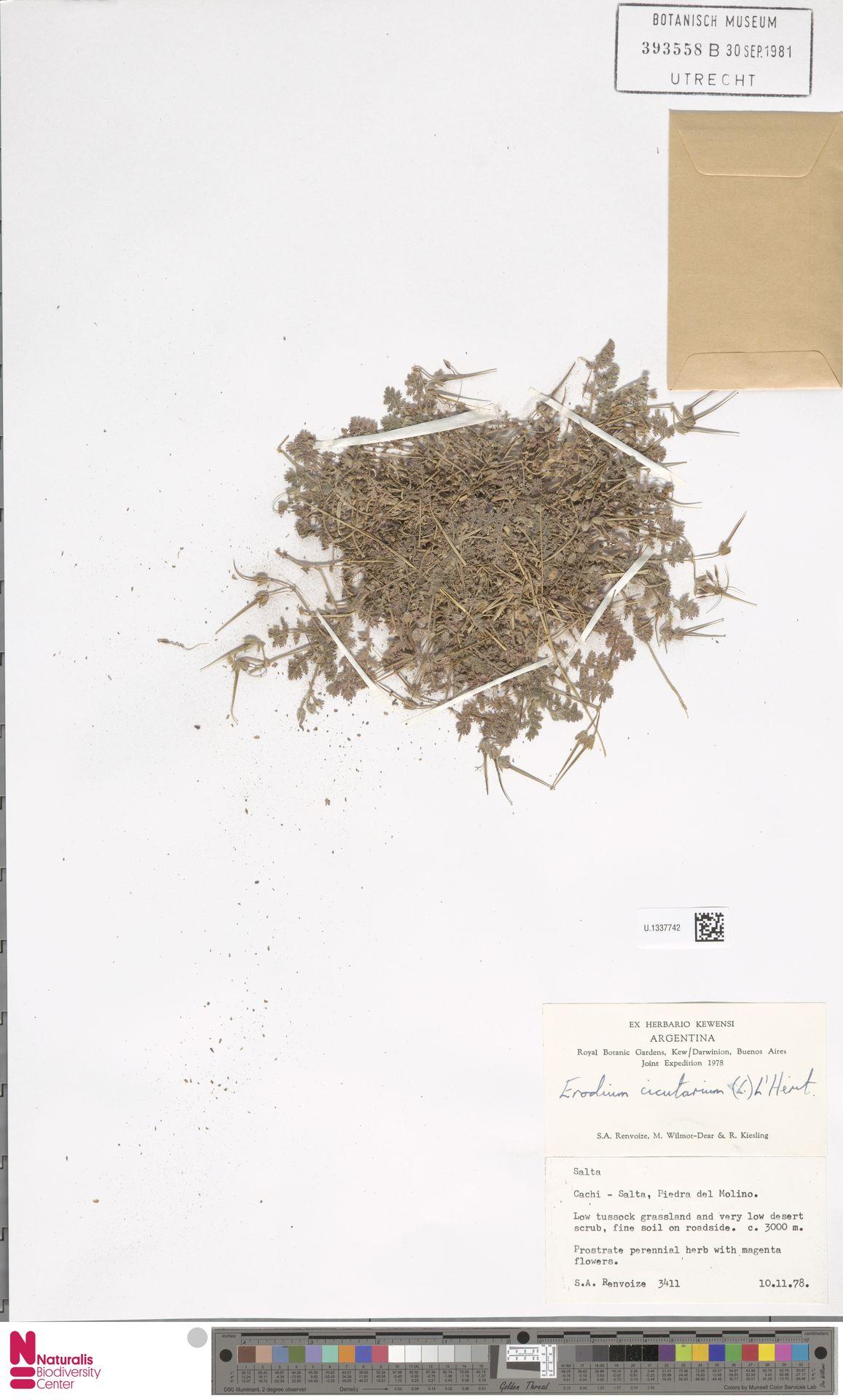 U.1337742 | Erodium cicutarium (L.) L'Hér.