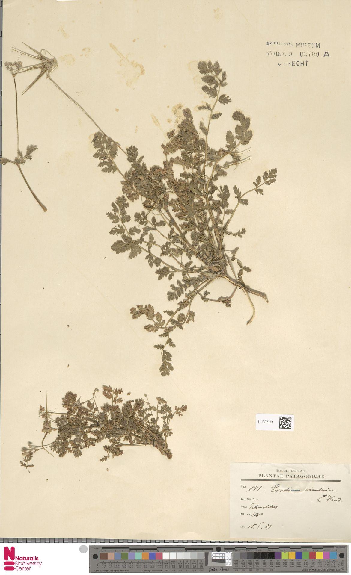 U.1337744   Erodium cicutarium (L.) L'Hér.