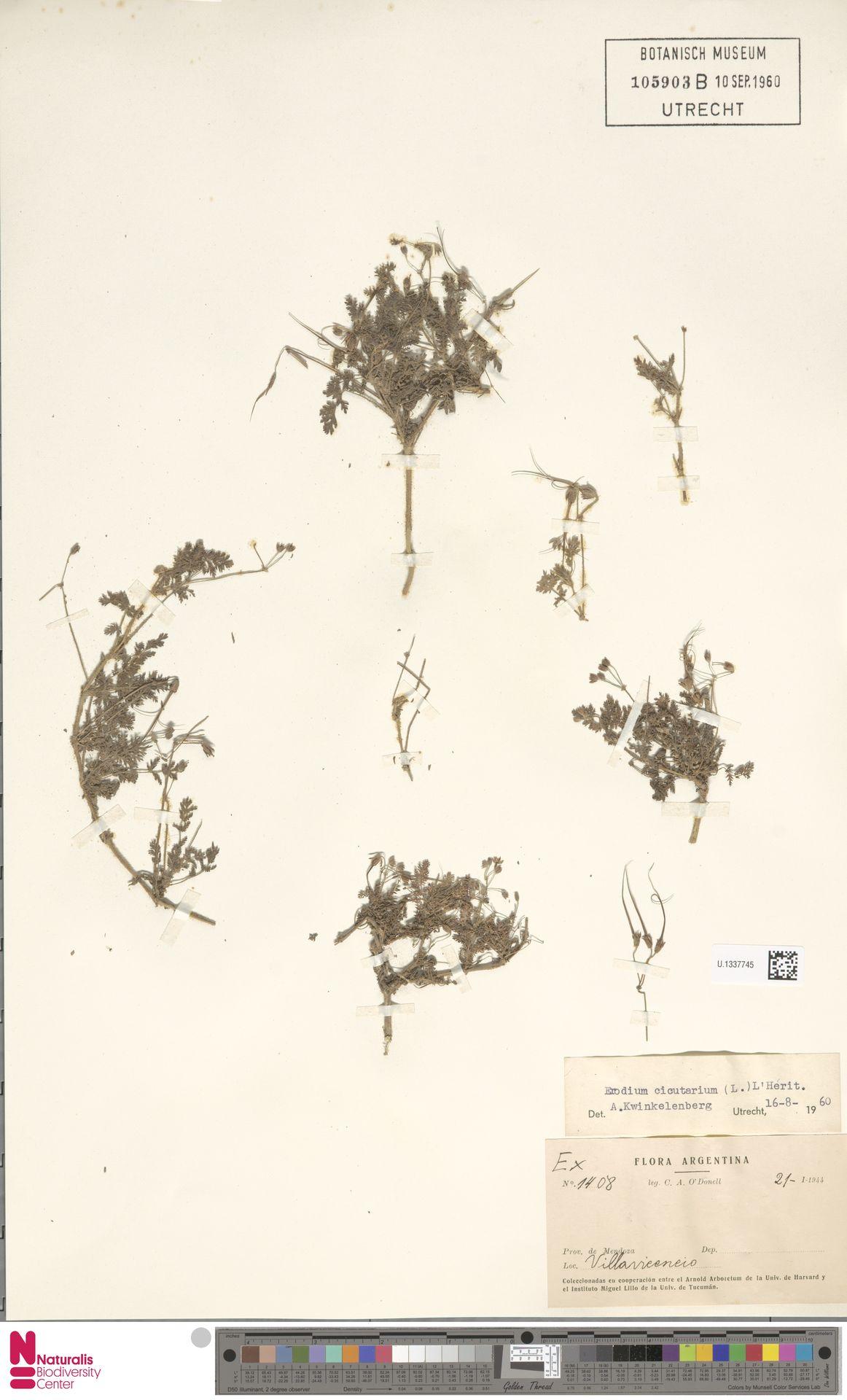 U.1337745 | Erodium cicutarium (L.) L'Hér.