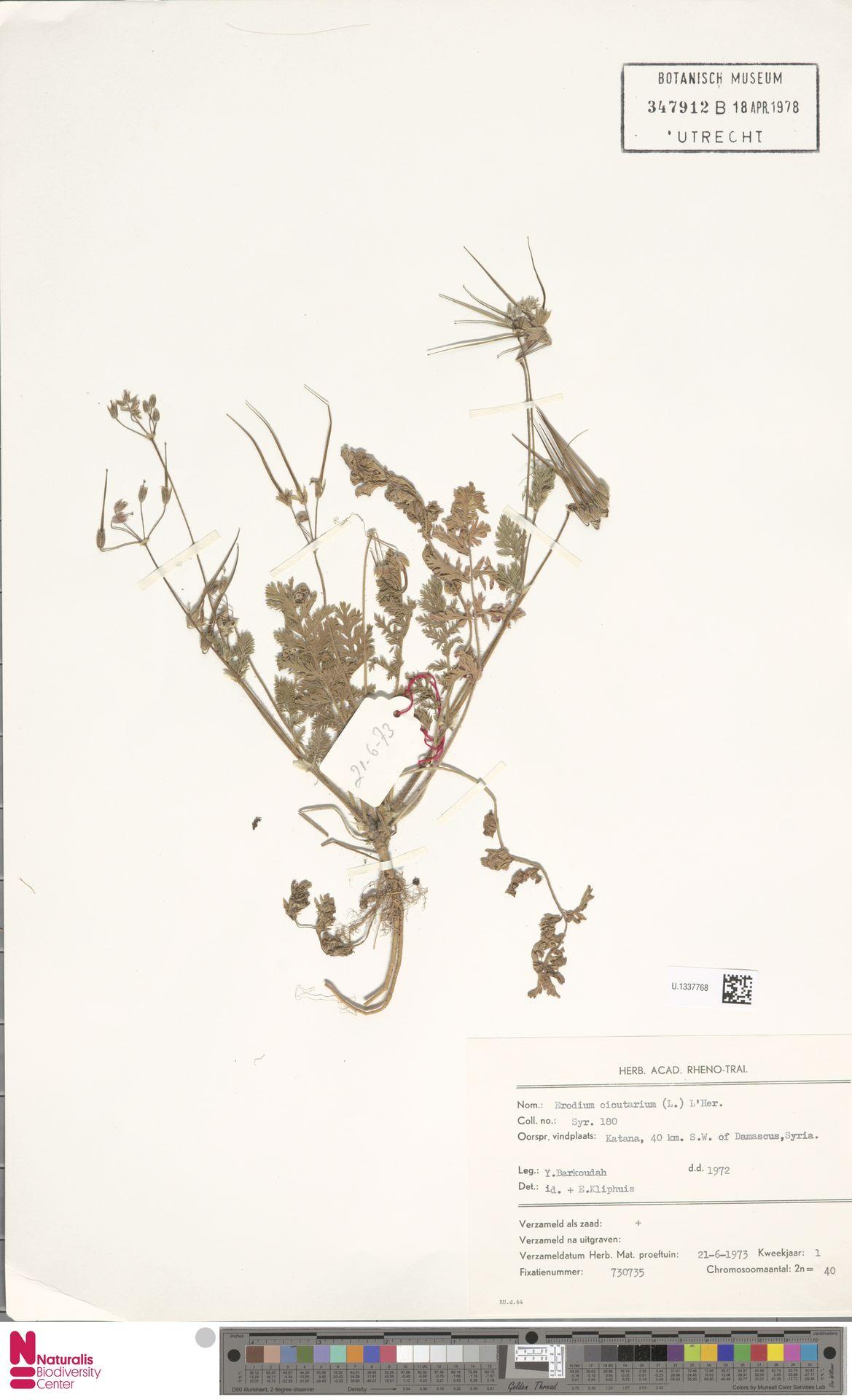 U.1337768 | Erodium cicutarium (L.) L'Hér.