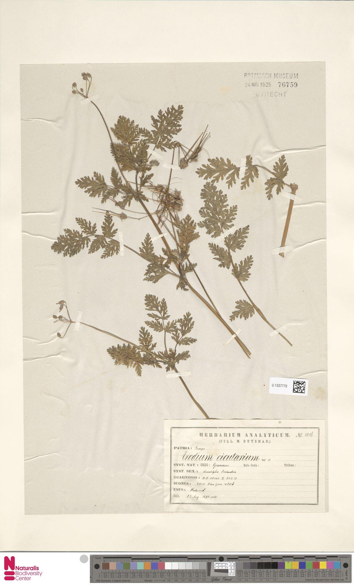 U.1337770 | Erodium cicutarium (L.) L'Hér.