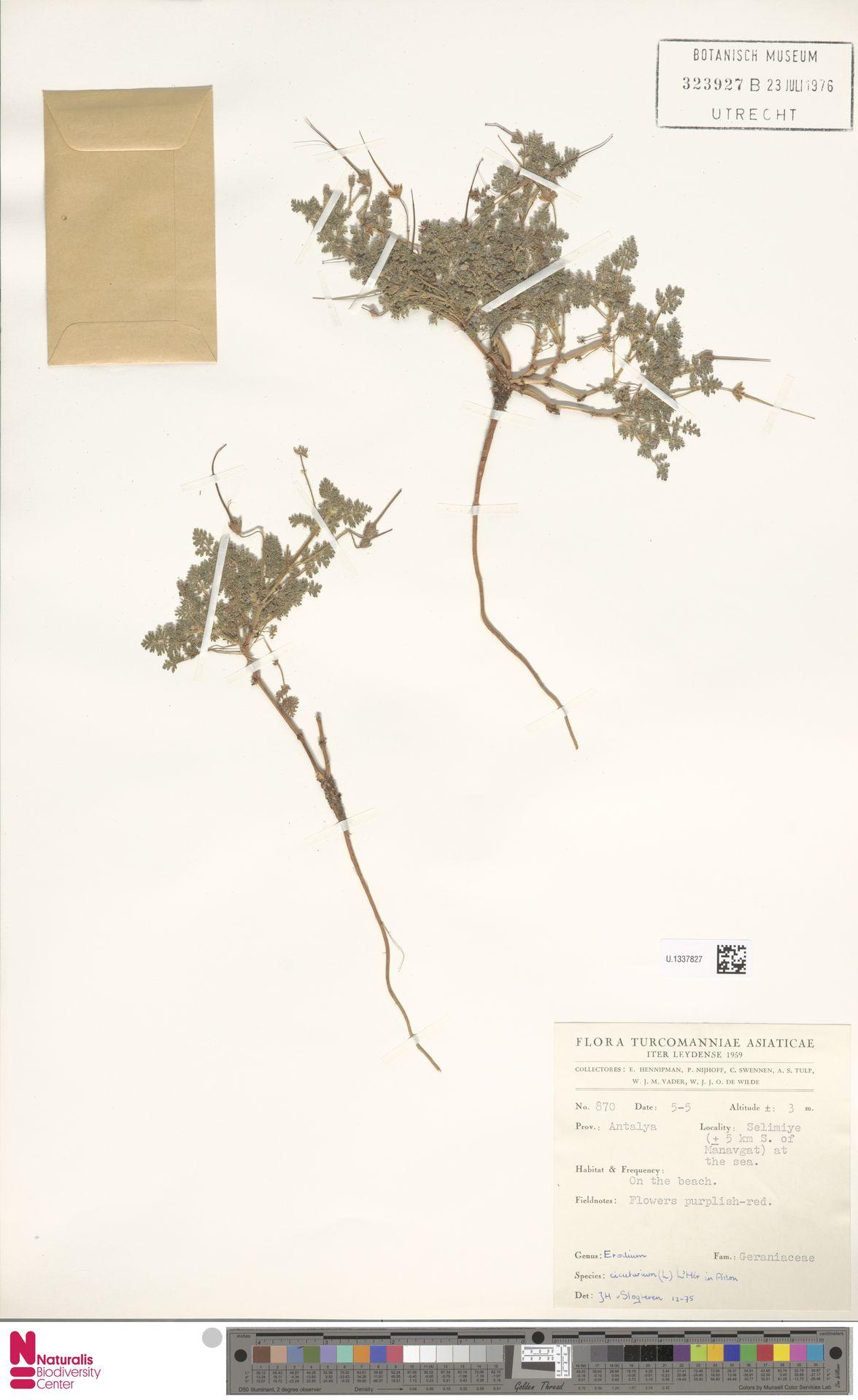 U.1337827 | Erodium cicutarium (L.) L'Hér.