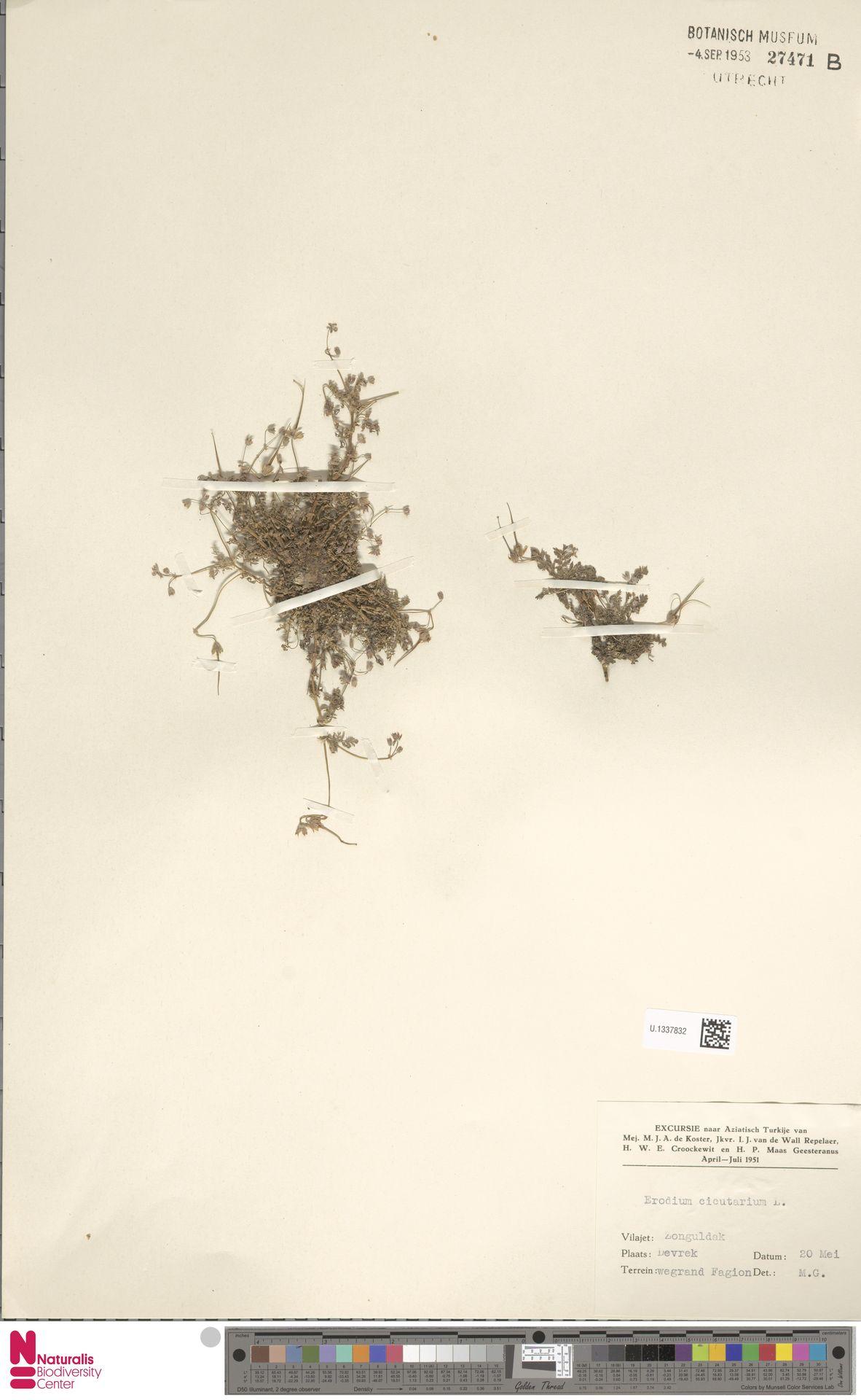 U.1337832 | Erodium cicutarium (L.) L'Hér.