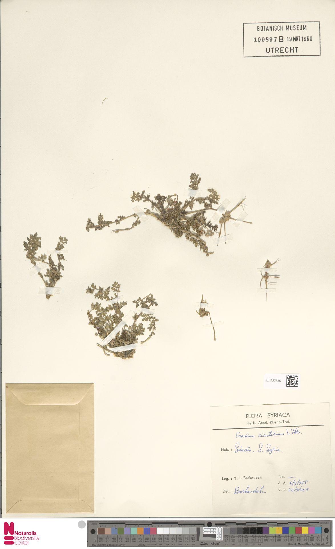 U.1337835   Erodium cicutarium (L.) L'Hér.