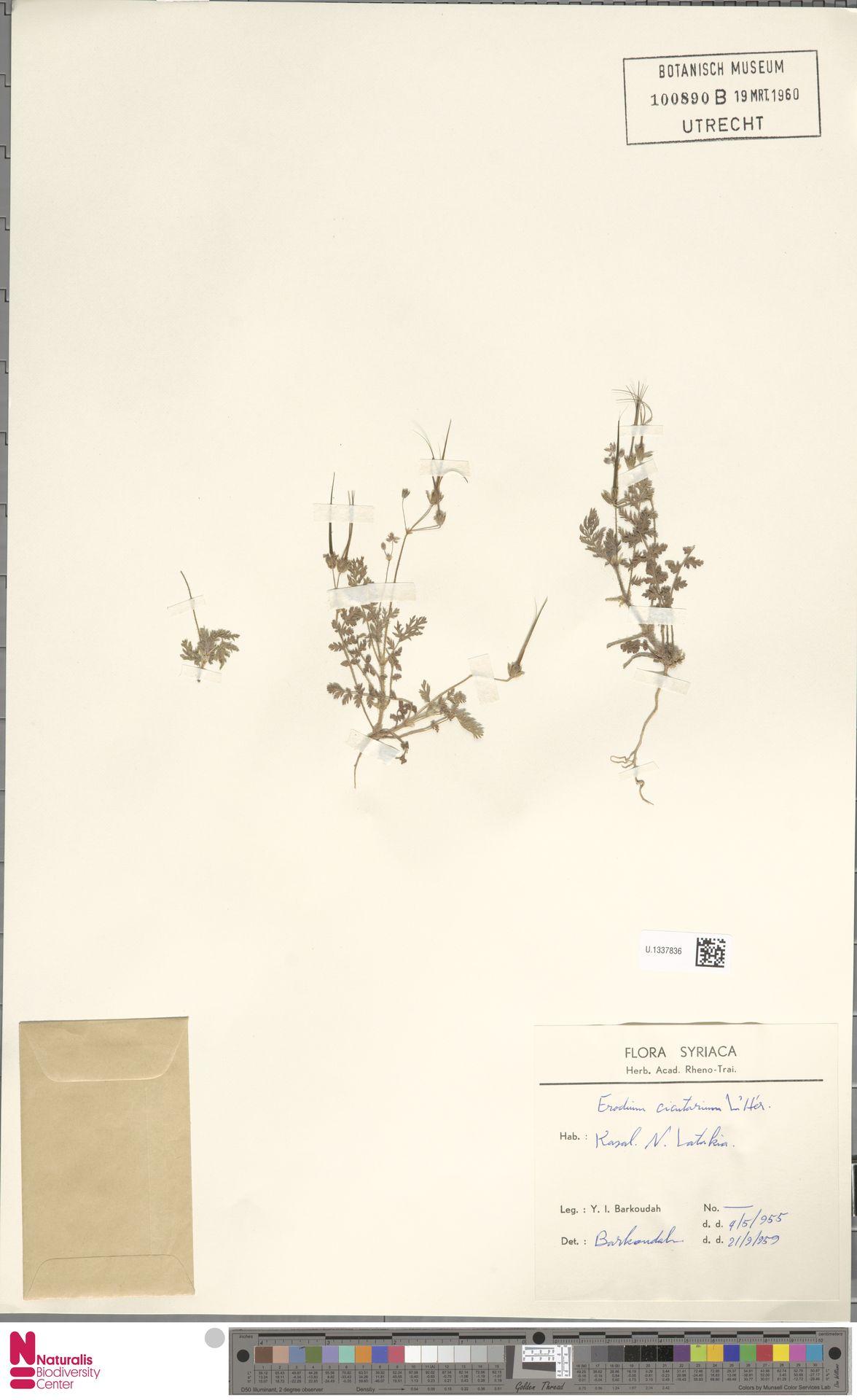 U.1337836 | Erodium cicutarium (L.) L'Hér.