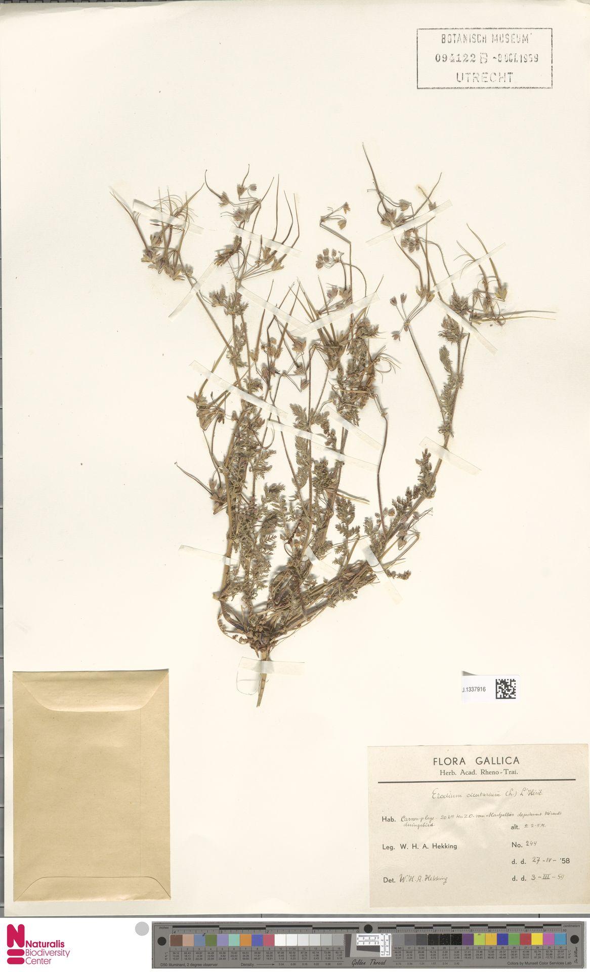 U.1337916 | Erodium cicutarium (L.) L'Hér.