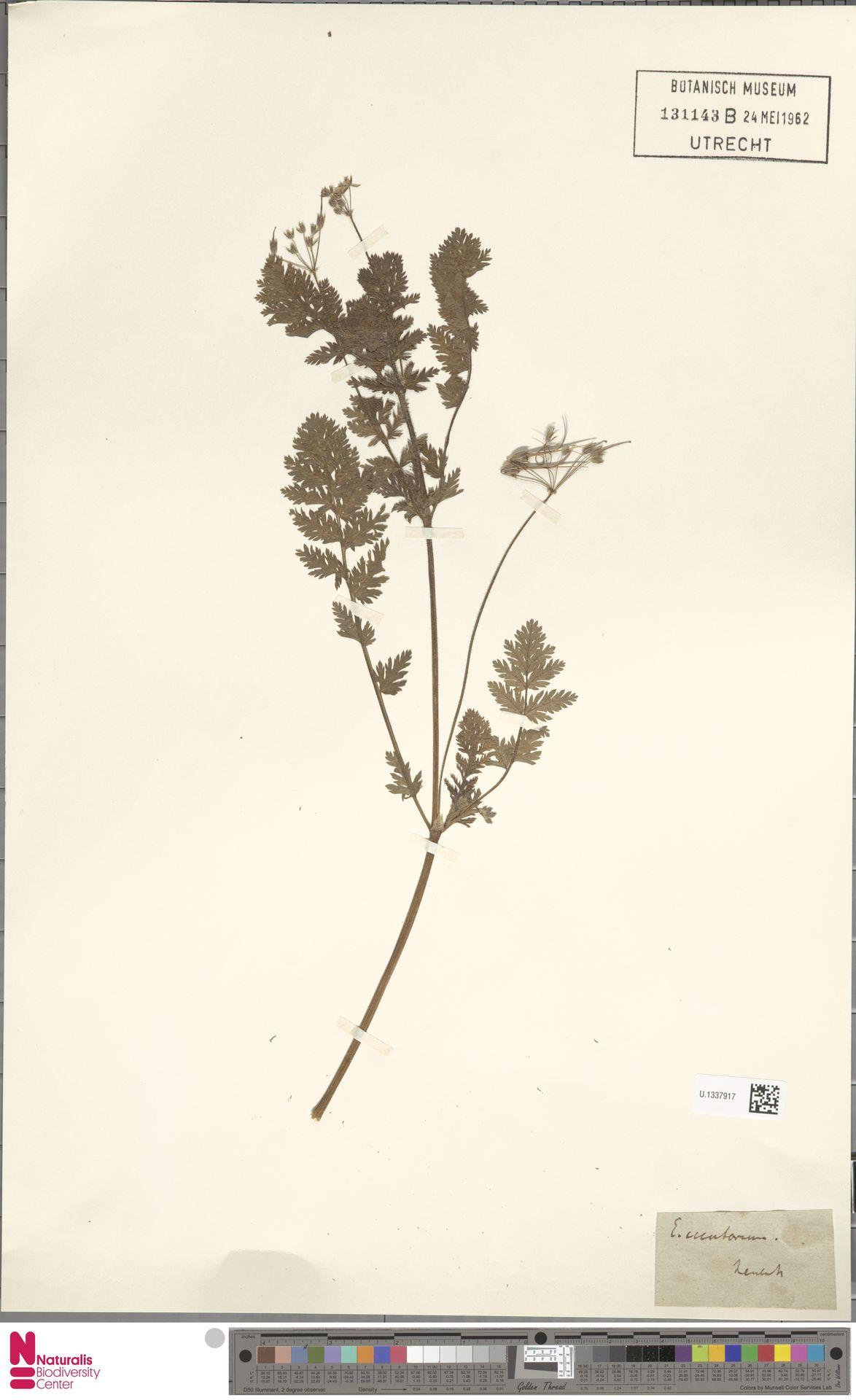 U.1337917 | Erodium cicutarium (L.) L'Hér.