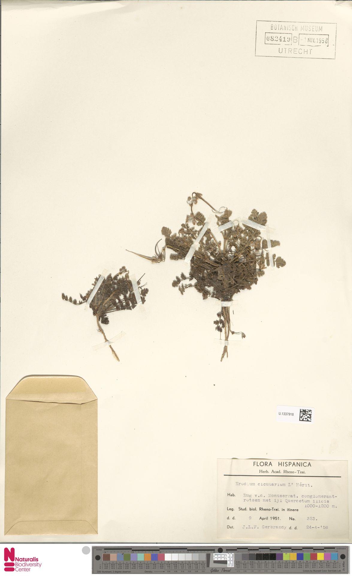 U.1337918 | Erodium cicutarium (L.) L'Hér.