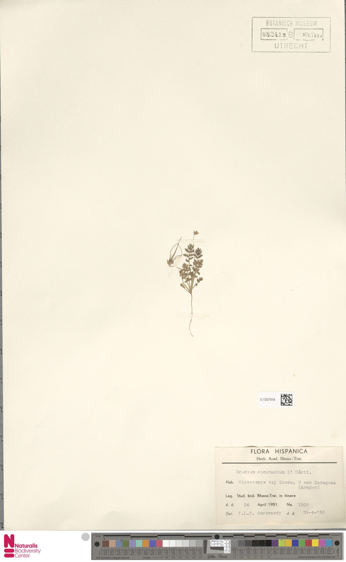 U.1337919 | Erodium cicutarium (L.) L'Hér.