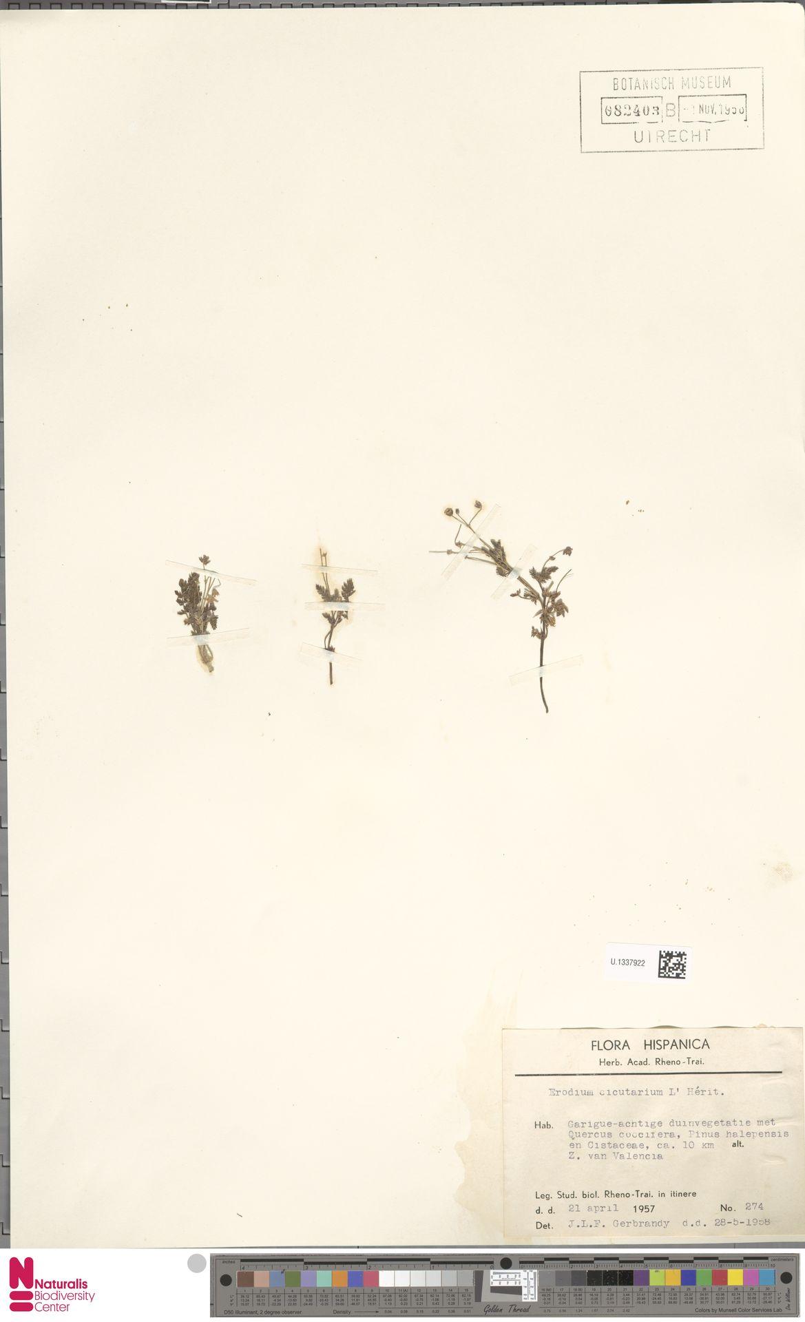 U.1337922 | Erodium cicutarium (L.) L'Hér.