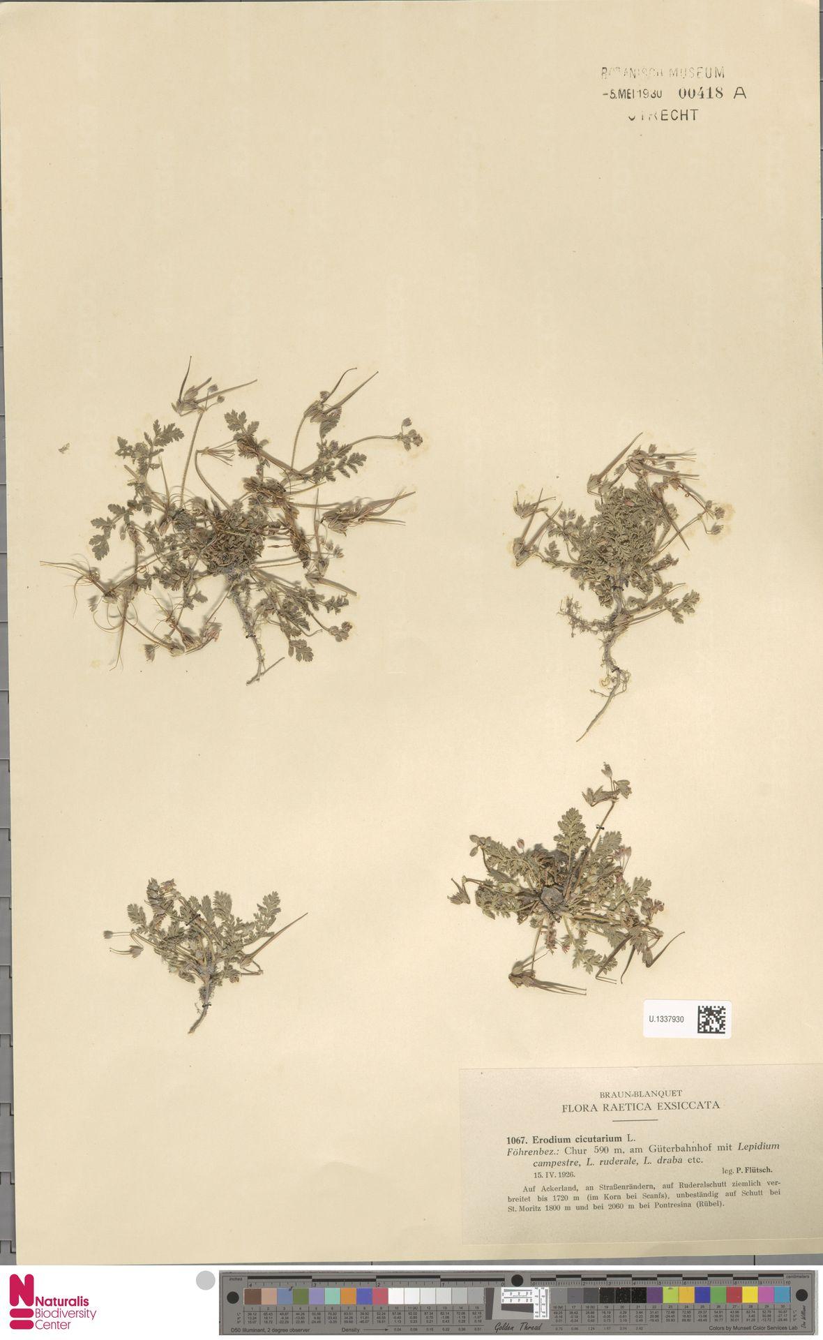 U.1337930 | Erodium cicutarium (L.) L'Hér.