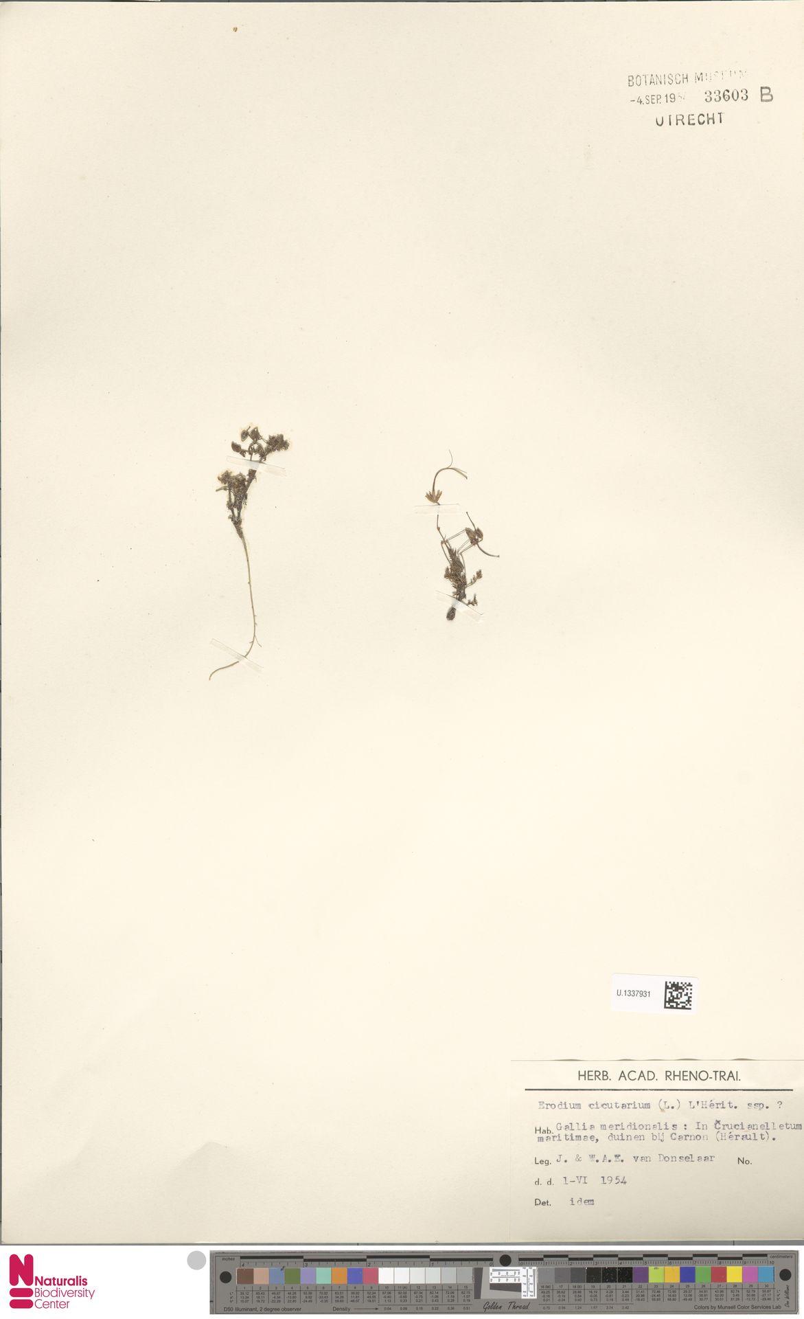 U.1337931 | Erodium cicutarium (L.) L'Hér.