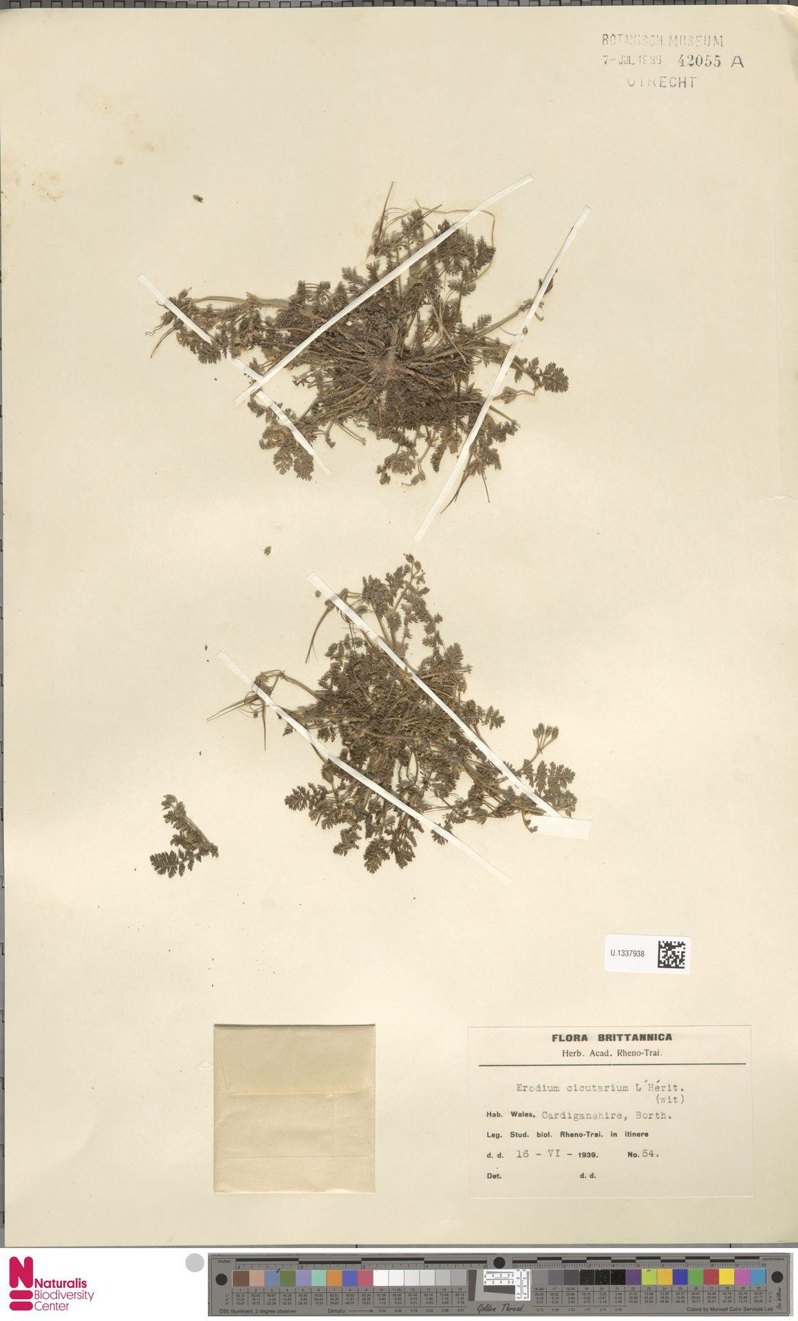 U.1337938 | Erodium cicutarium (L.) L'Hér.