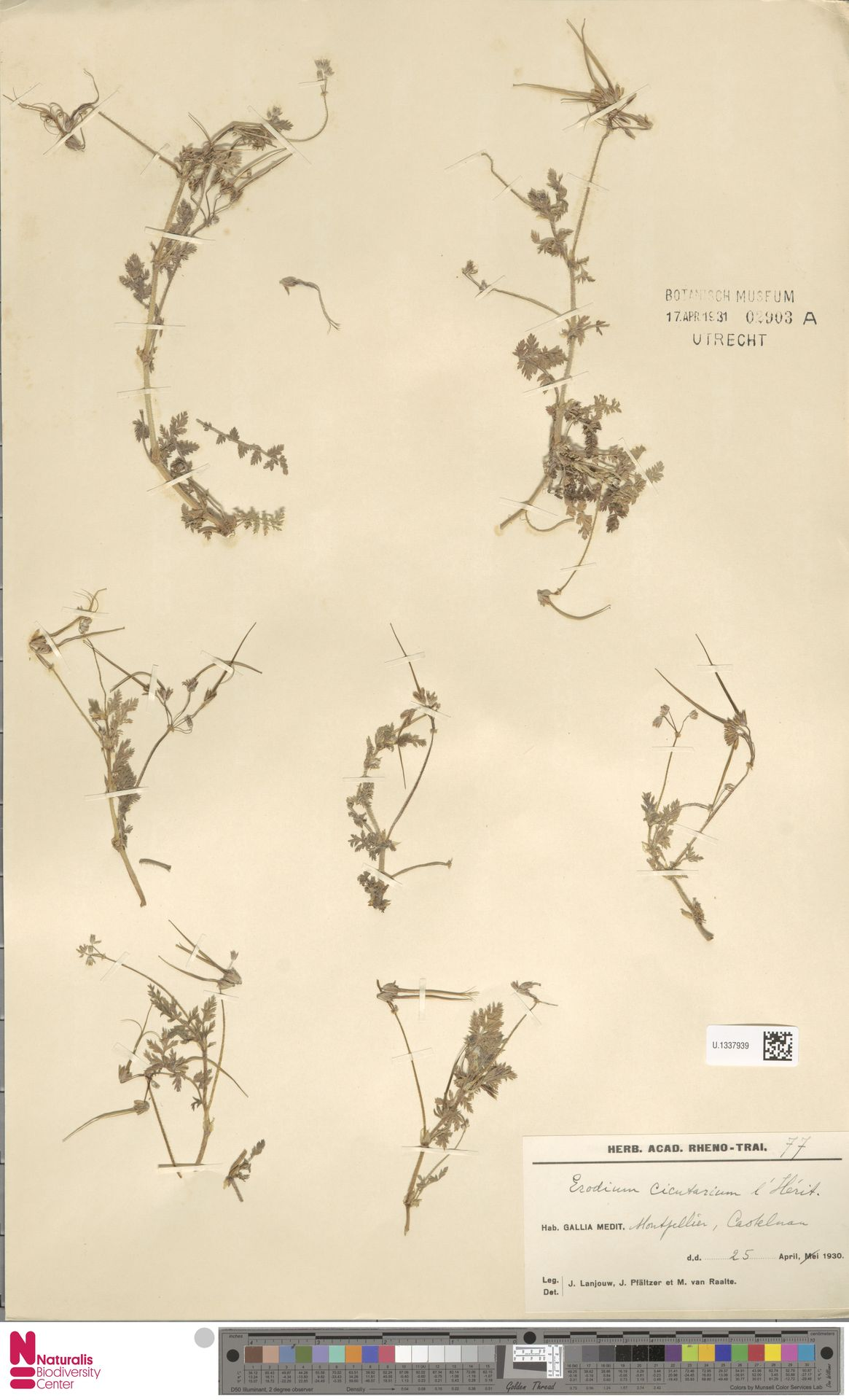 U.1337939 | Erodium cicutarium (L.) L'Hér.