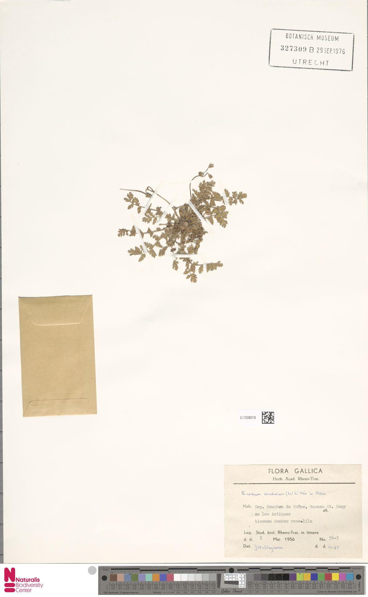 U.1338019   Erodium cicutarium (L.) L'Hér.