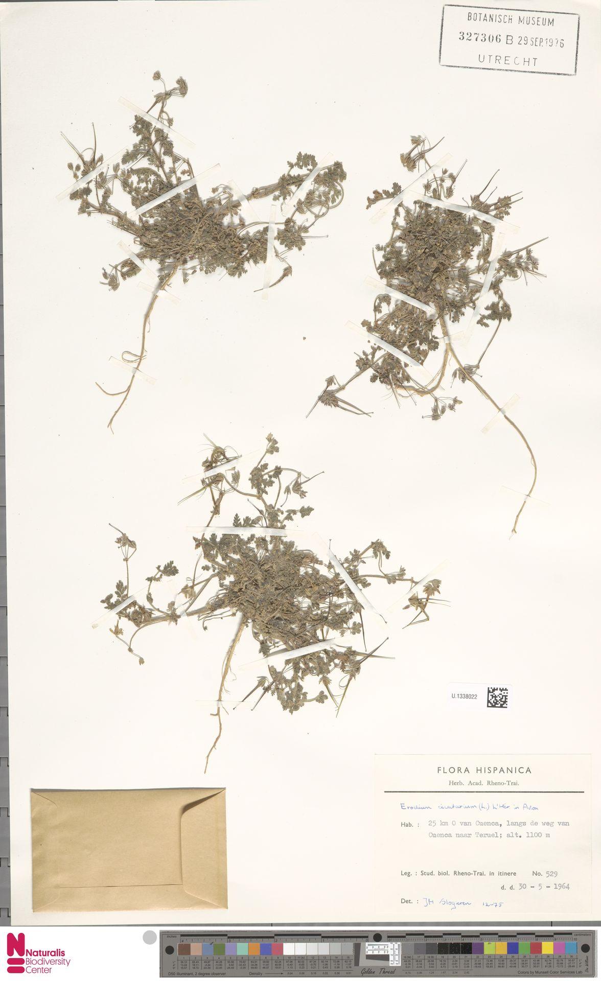 U.1338022 | Erodium cicutarium (L.) L'Hér.