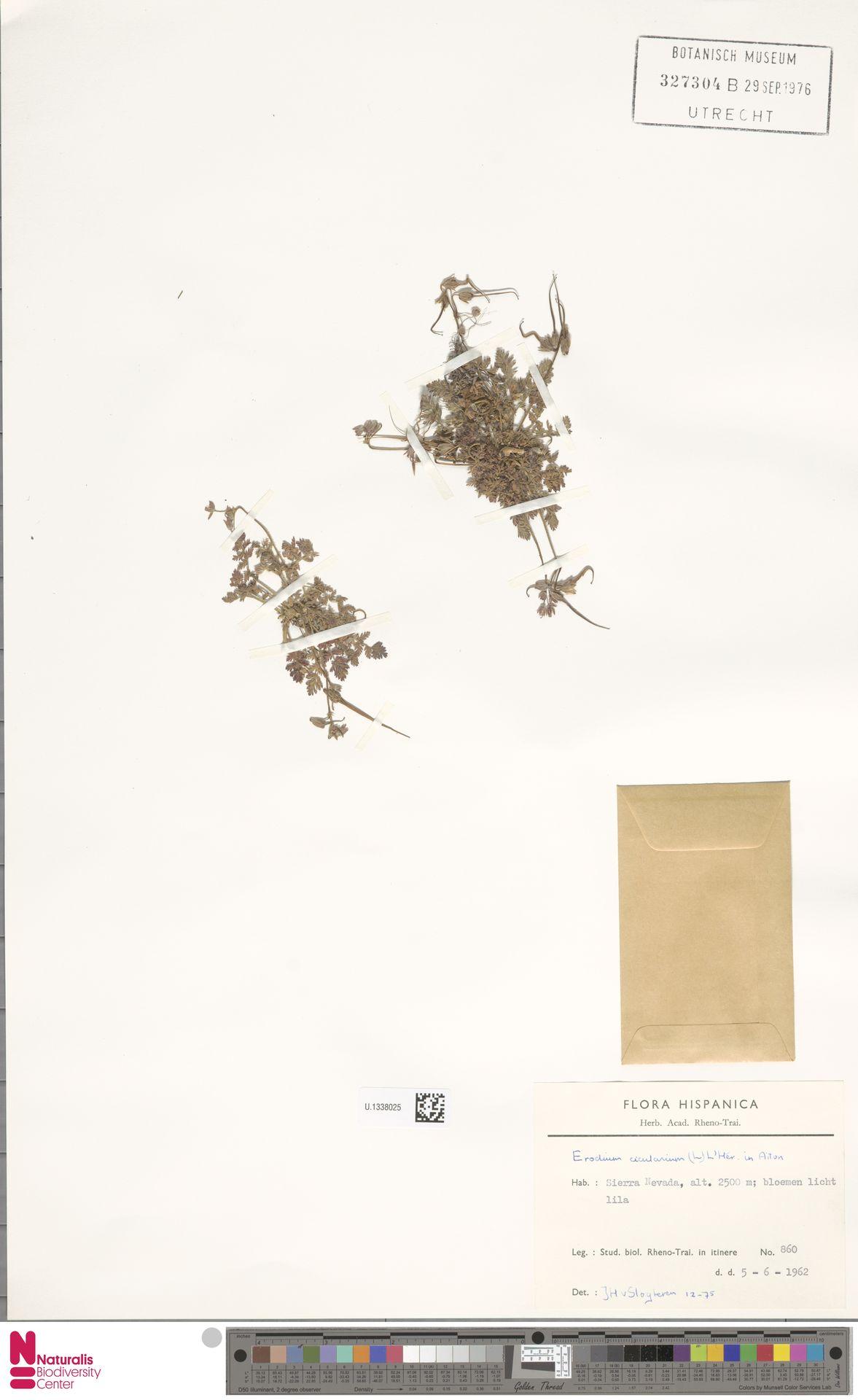 U.1338025 | Erodium cicutarium (L.) L'Hér.