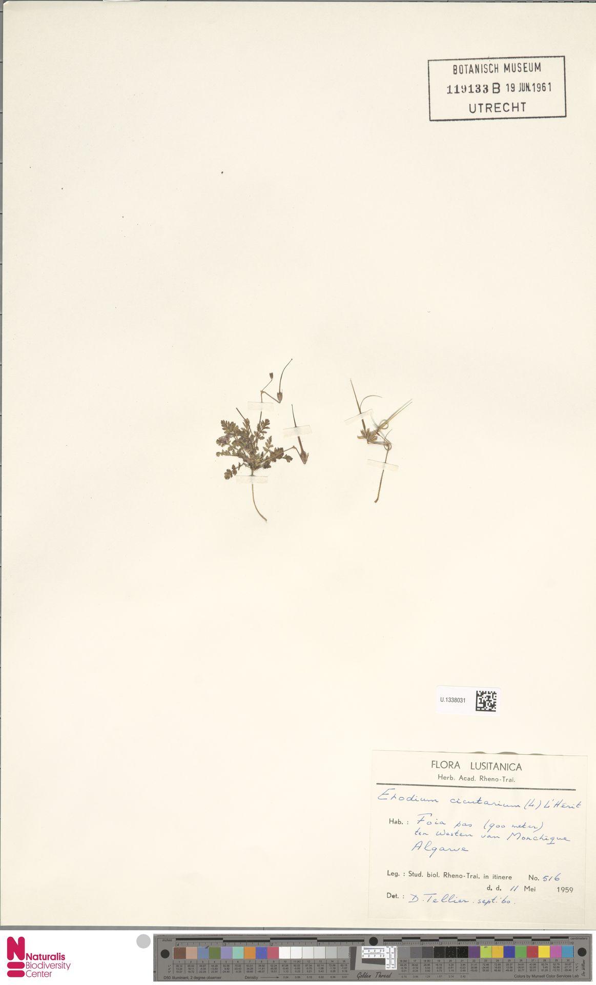 U.1338031 | Erodium cicutarium (L.) L'Hér.