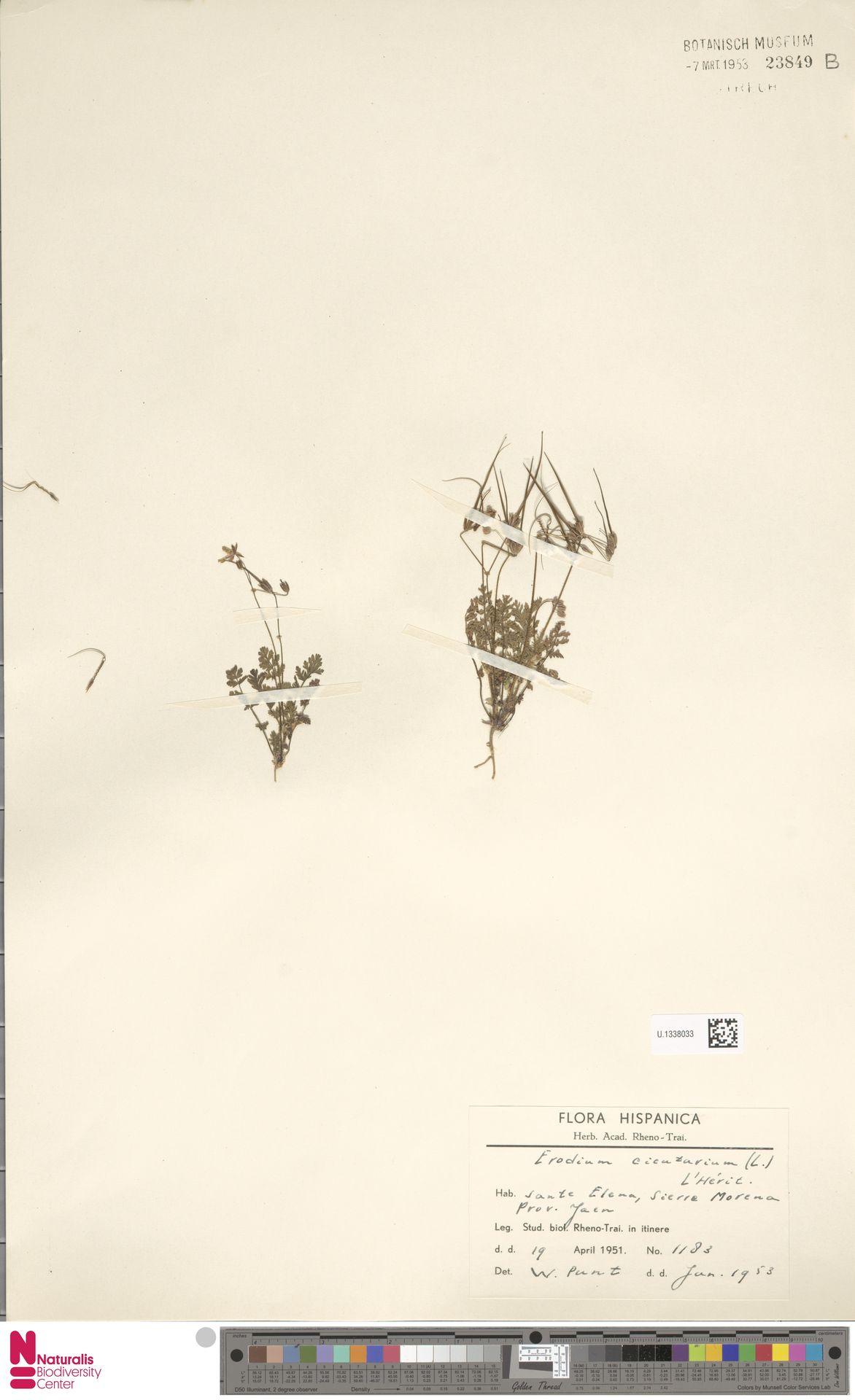 U.1338033 | Erodium cicutarium (L.) L'Hér.