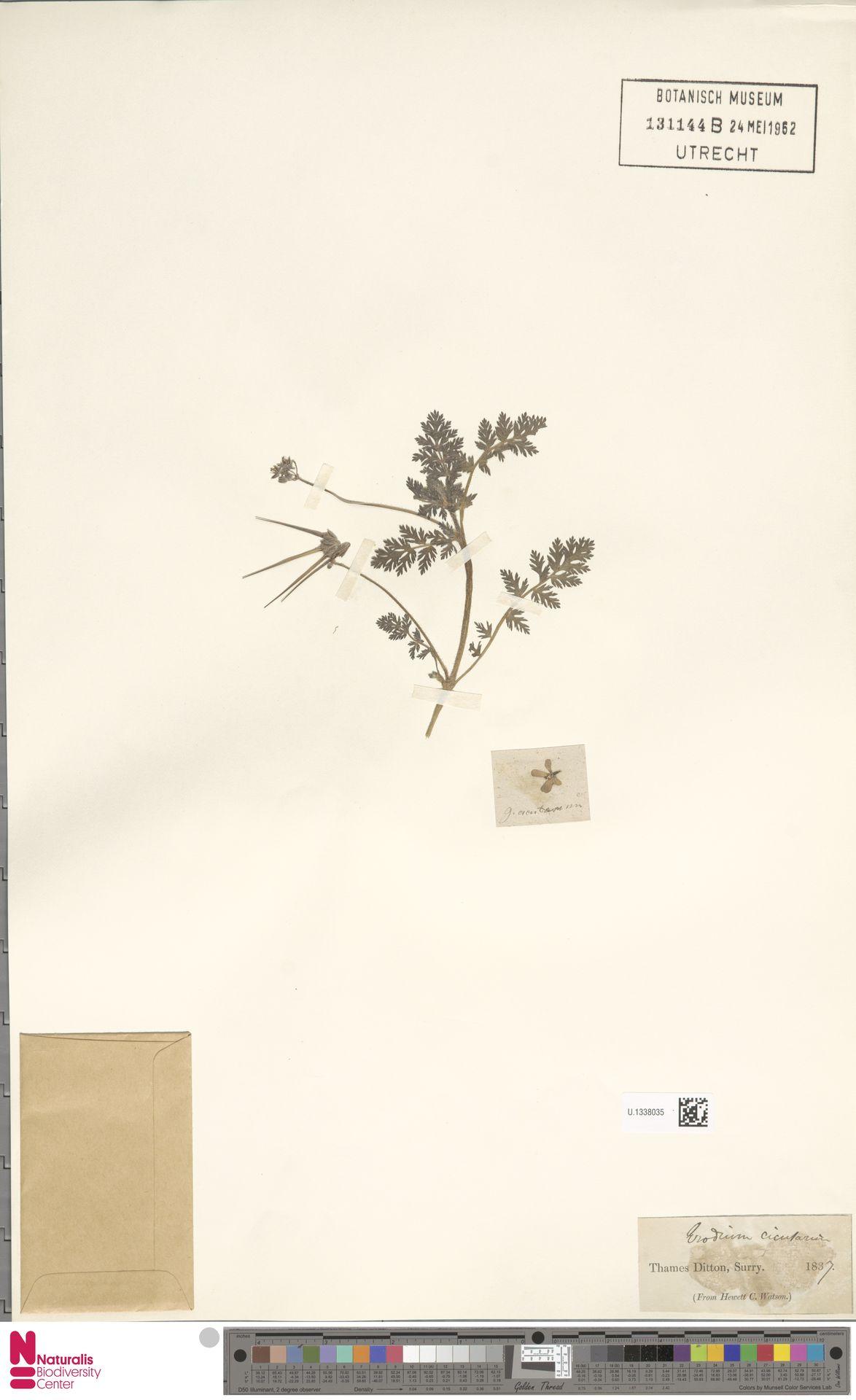 U.1338035 | Erodium cicutarium (L.) L'Hér.