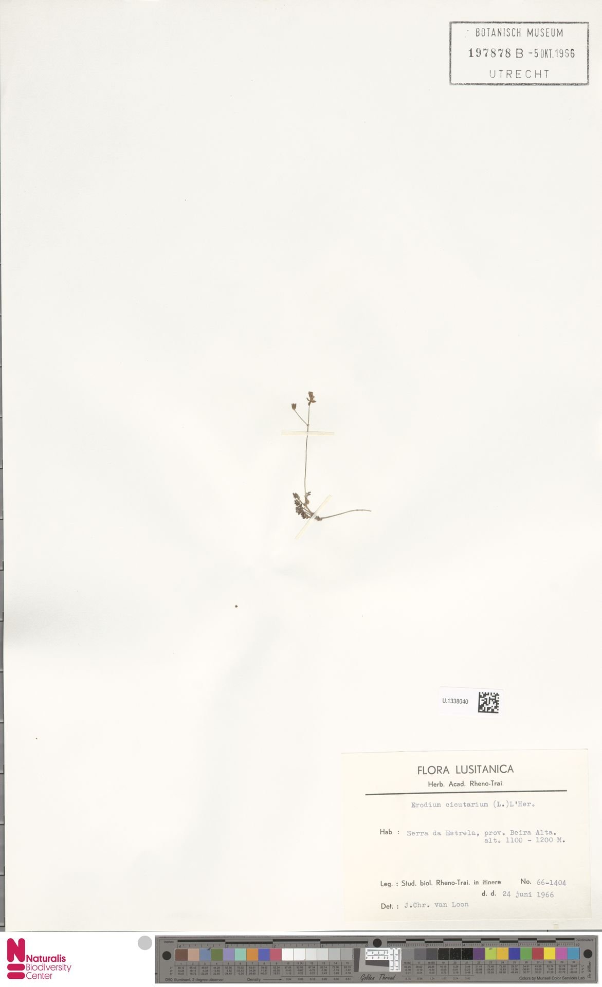 U.1338040 | Erodium cicutarium (L.) L'Hér.