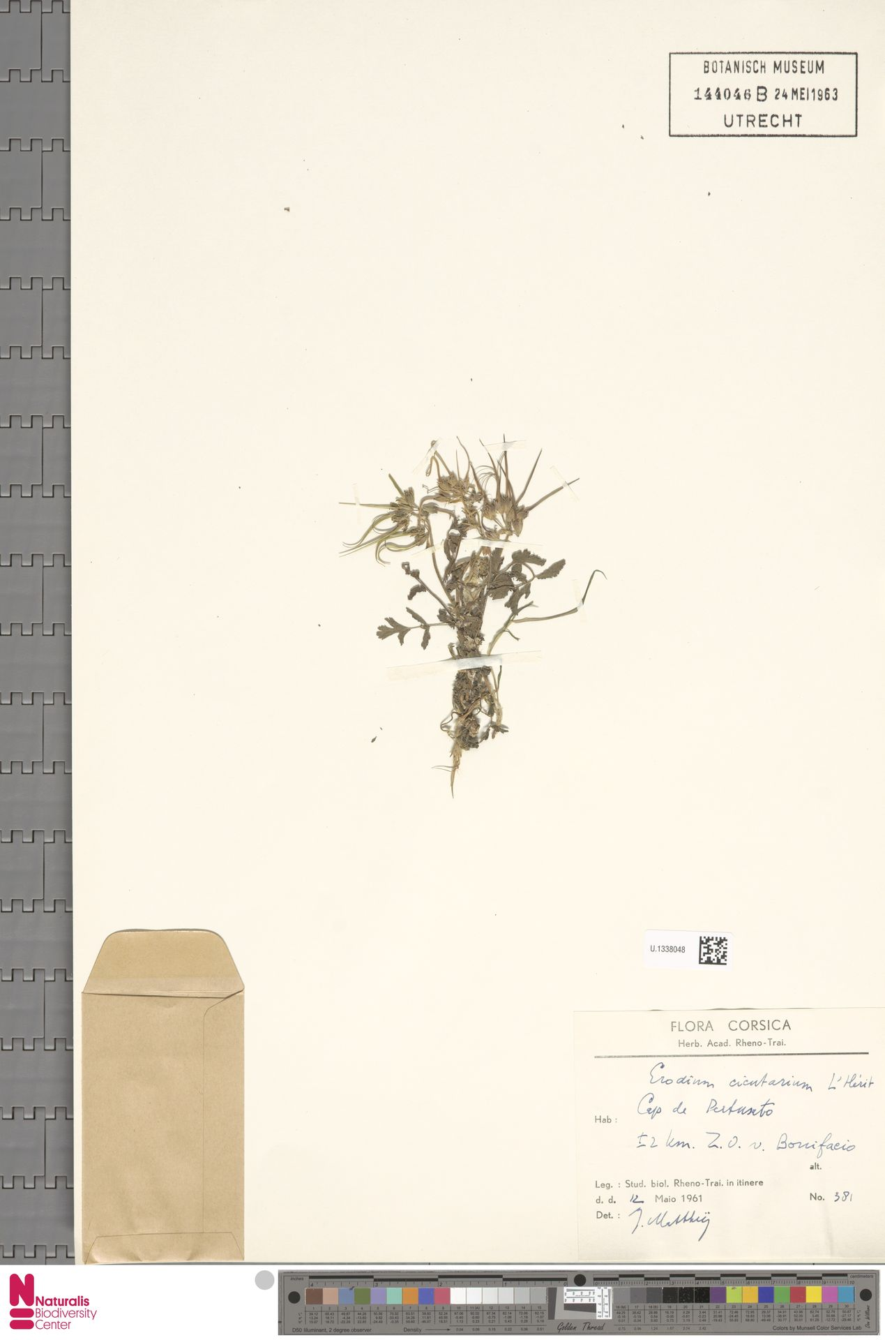U.1338048 | Erodium cicutarium (L.) L'Hér.
