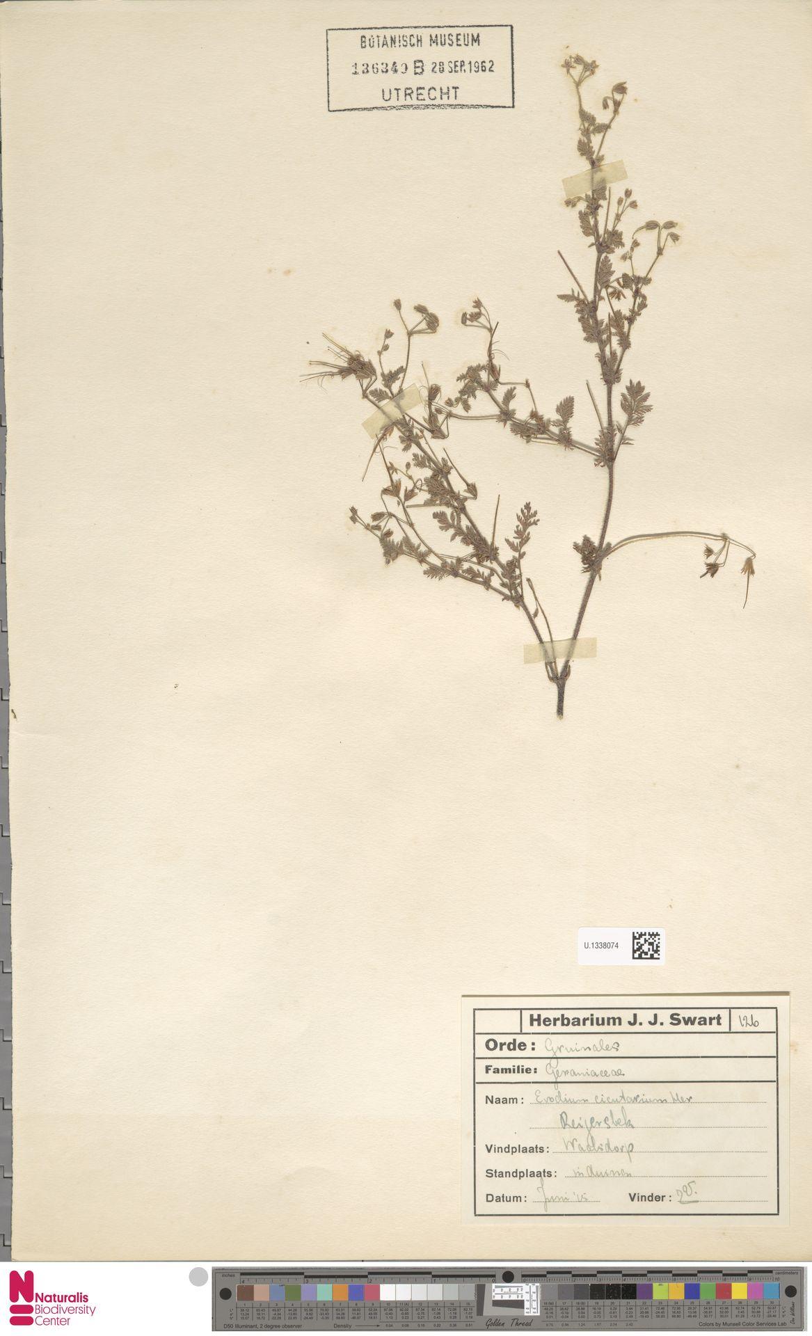 U.1338074 | Erodium cicutarium (L.) L'Hér.