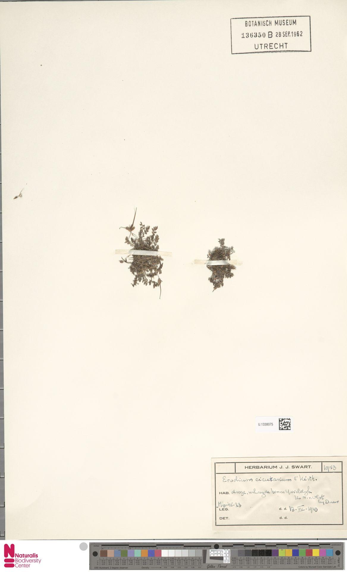 U.1338075   Erodium cicutarium (L.) L'Hér.
