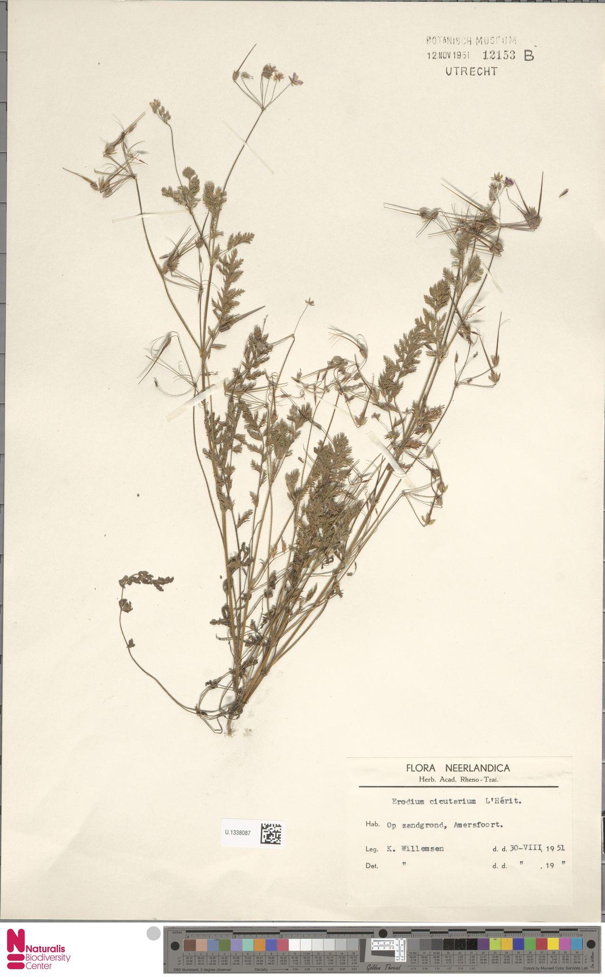 U.1338087   Erodium cicutarium (L.) L'Hér.