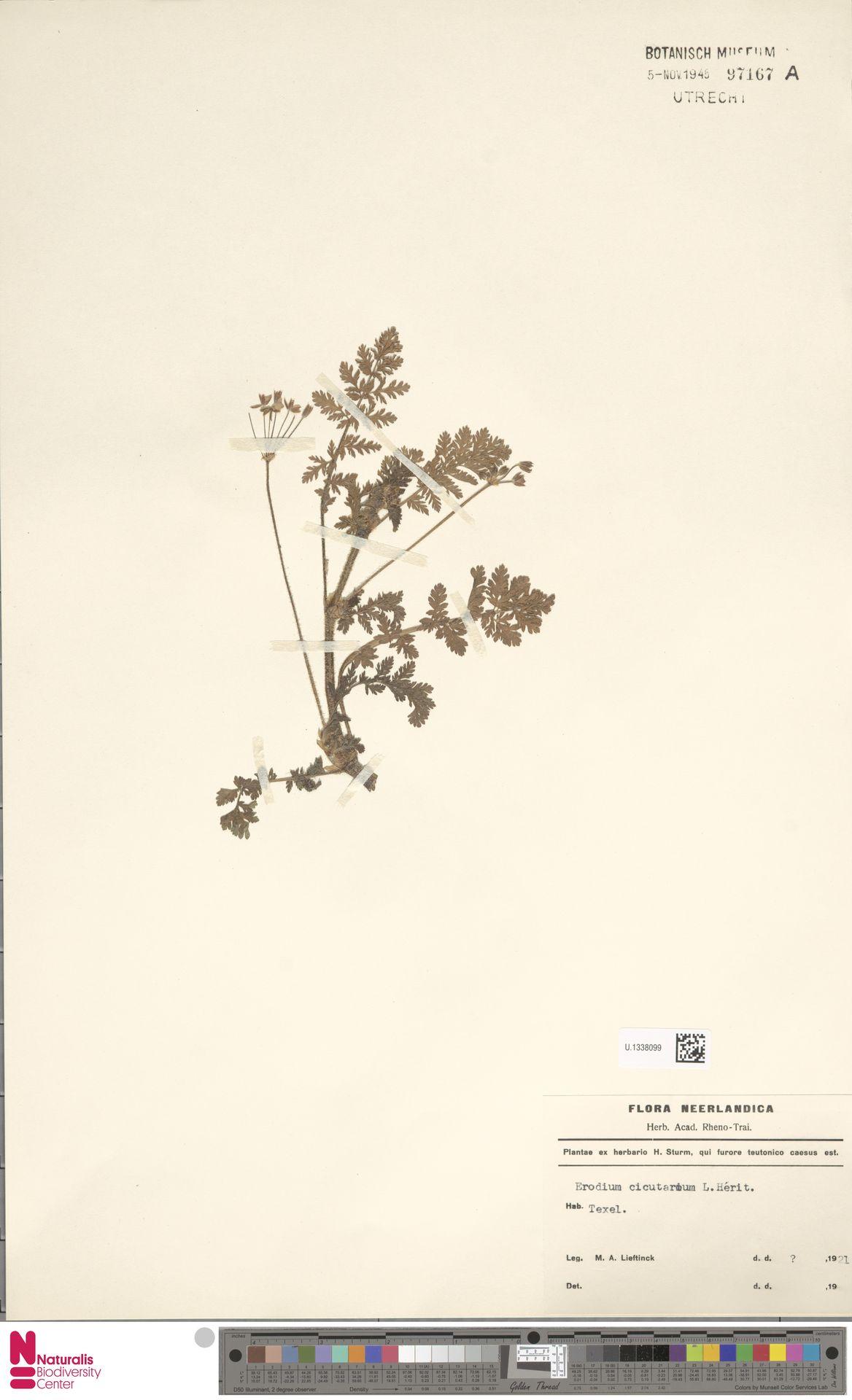 U.1338099 | Erodium cicutarium (L.) L'Hér.