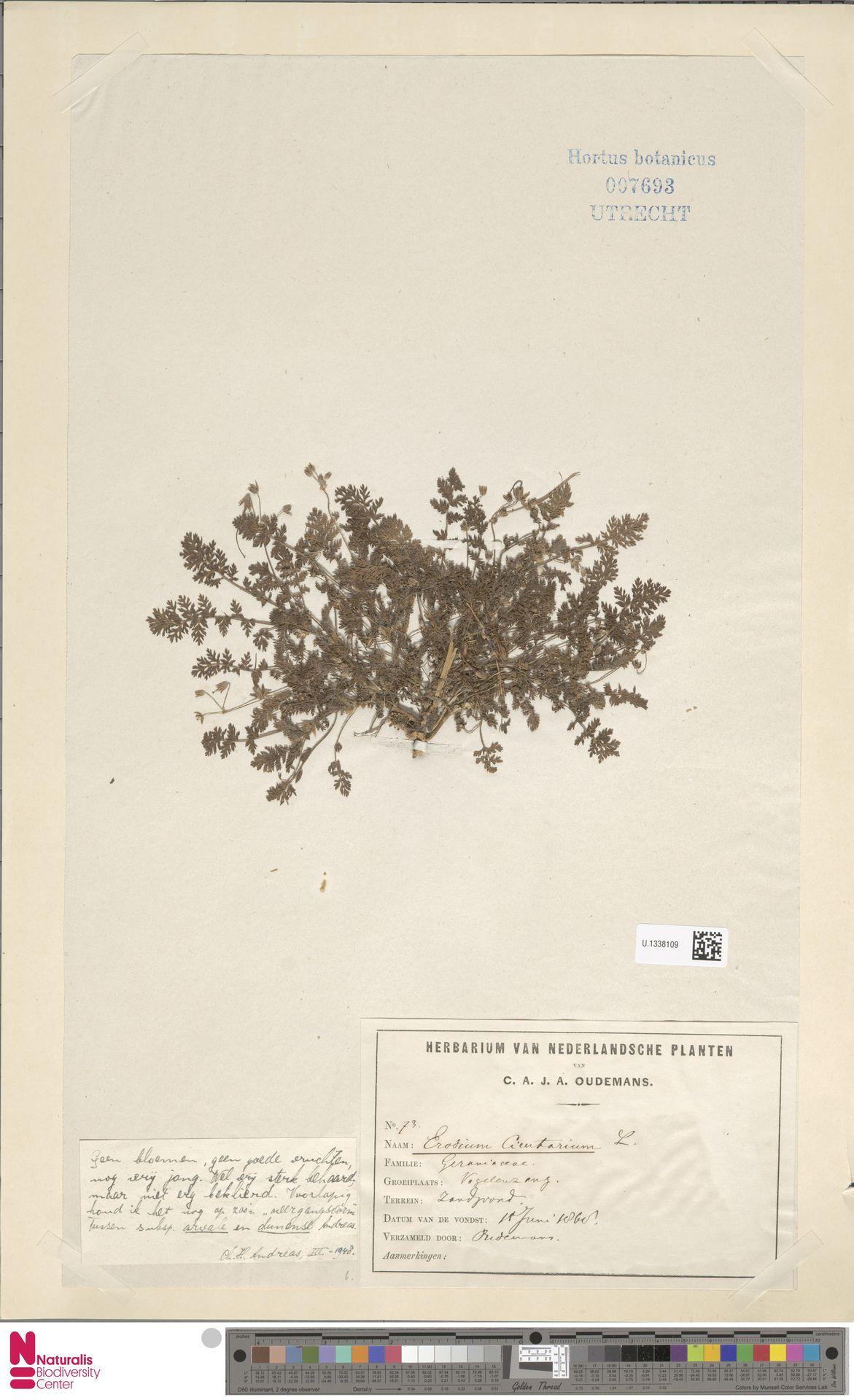 U.1338109 | Erodium cicutarium (L.) L'Hér.