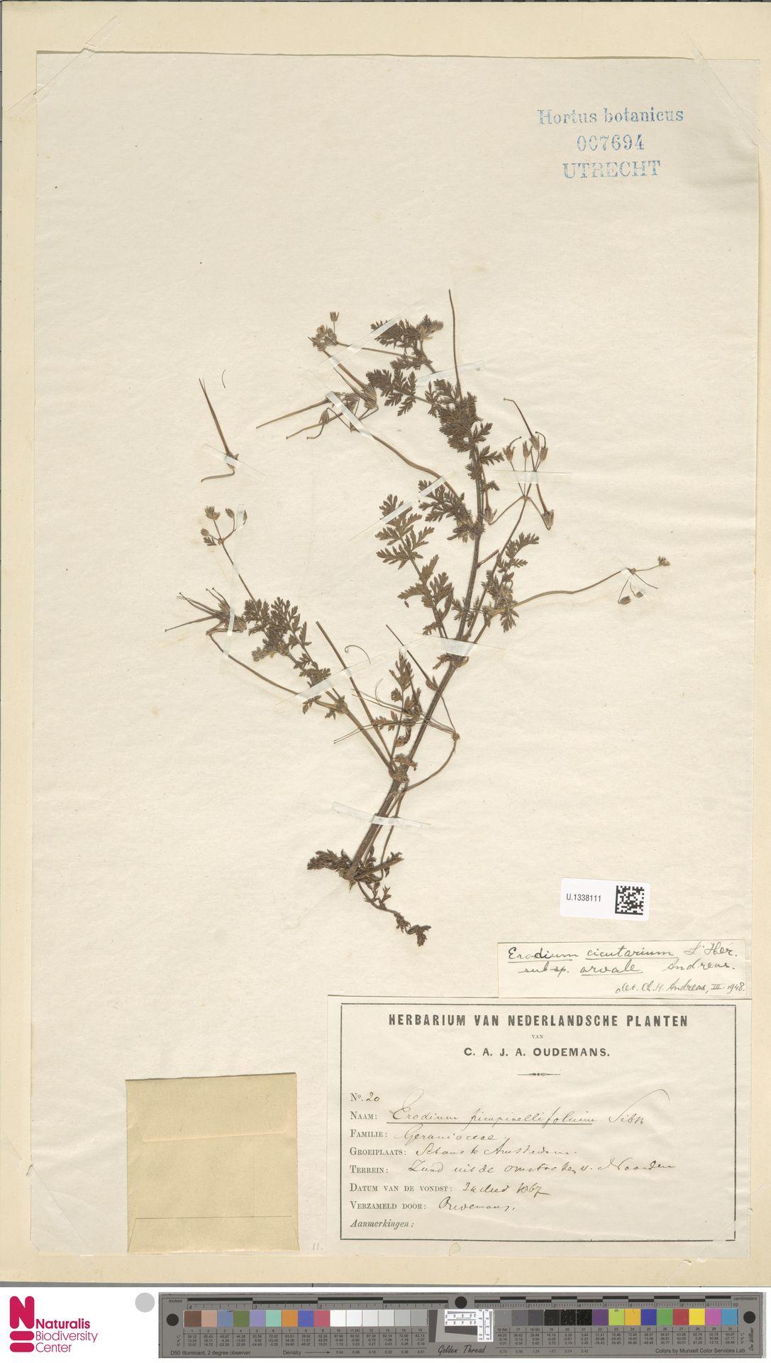 U.1338111 | Erodium cicutarium (L.) L'Hér.